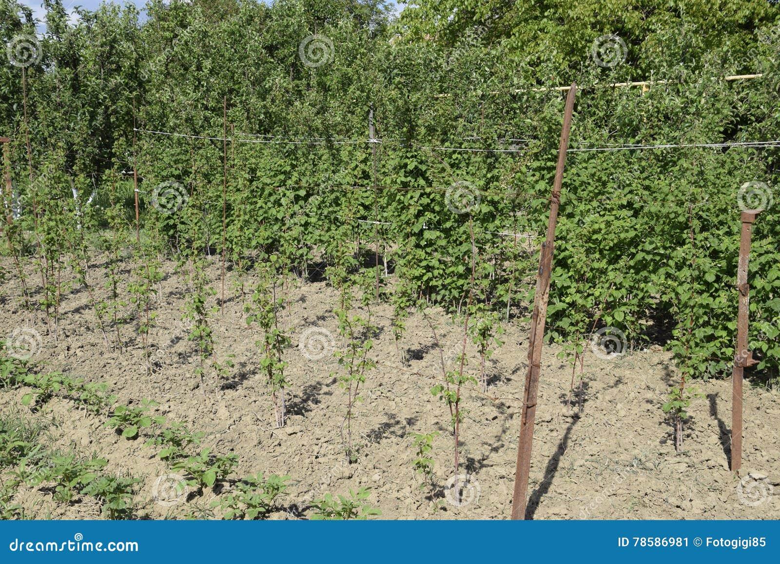 Die Betthimbeeren Die Stämme Von Himbeeren Auf Einem Gitter Spritzen