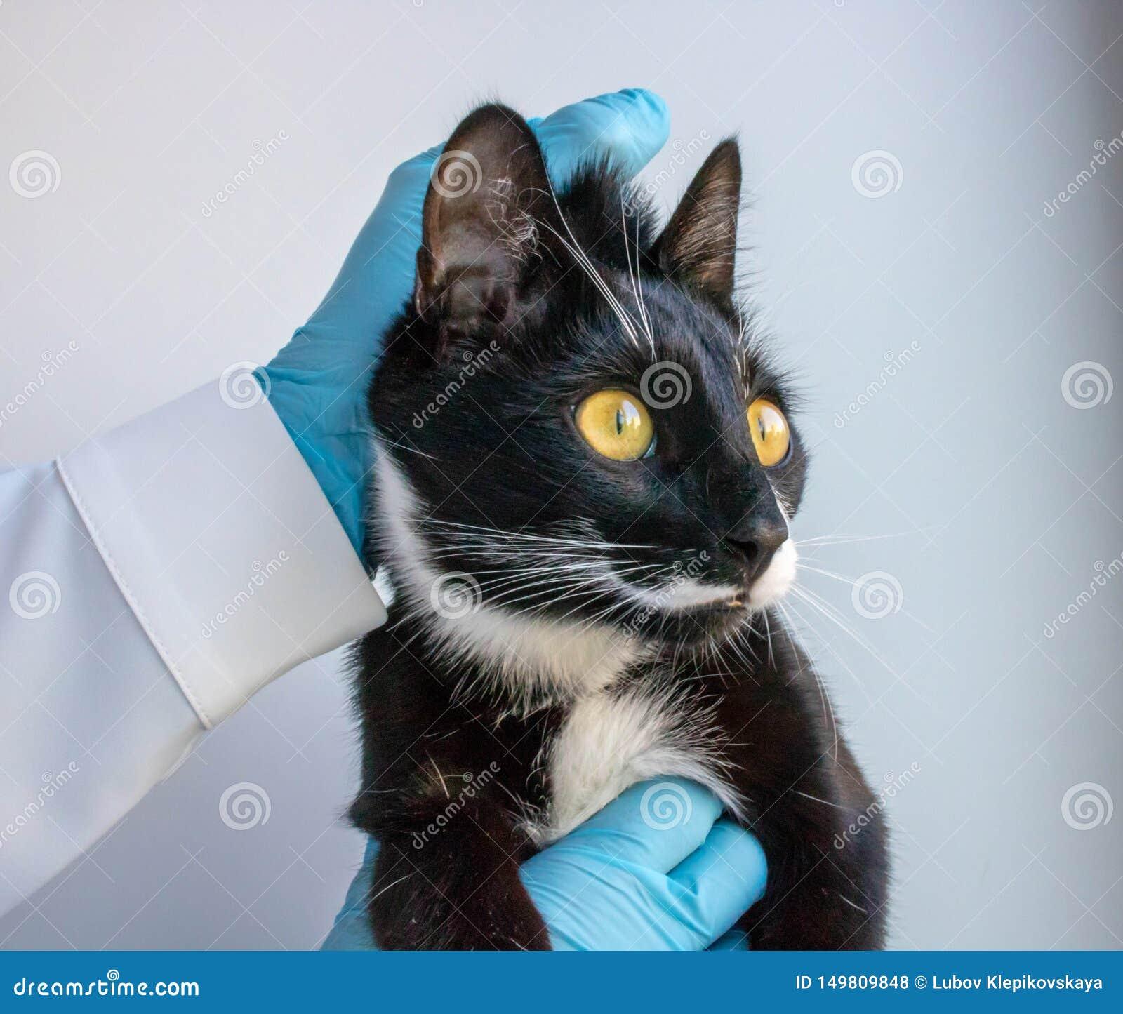 Die blac Katze hält die Doktorklinik