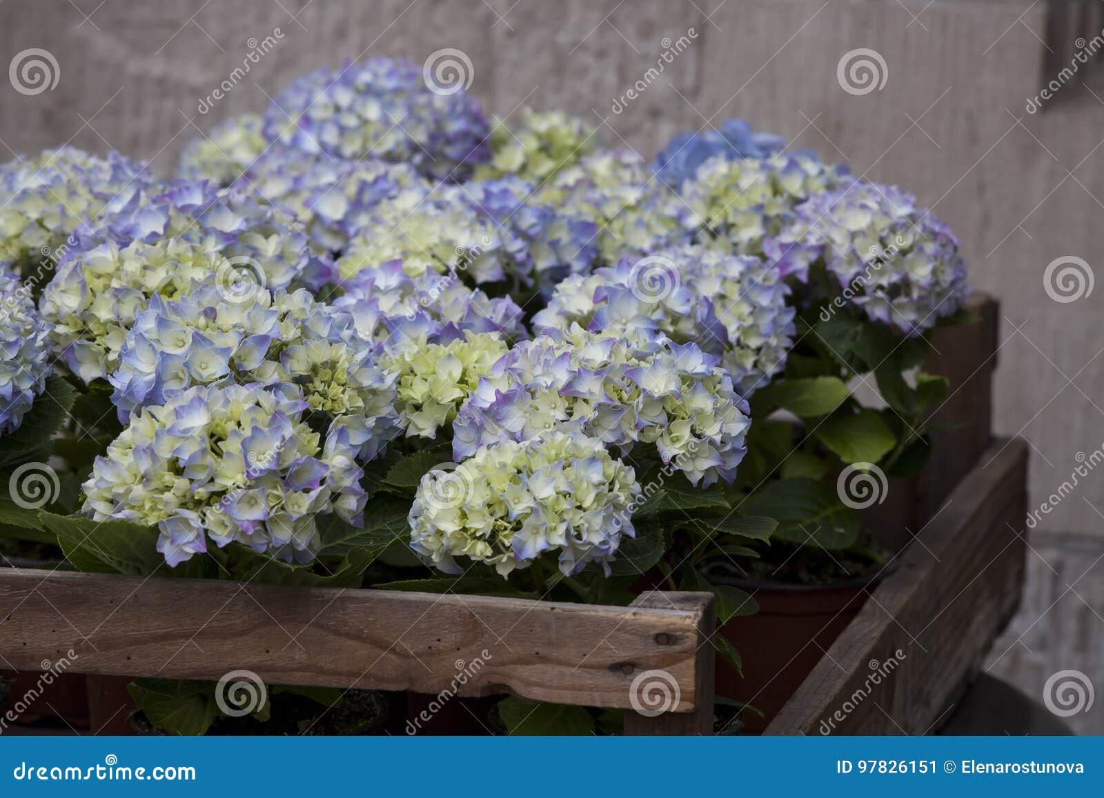 Die blaue hortensie in einer holzkiste als gartenverzierung gegen eine graue steinwand stockbild - Graue steinwand ...