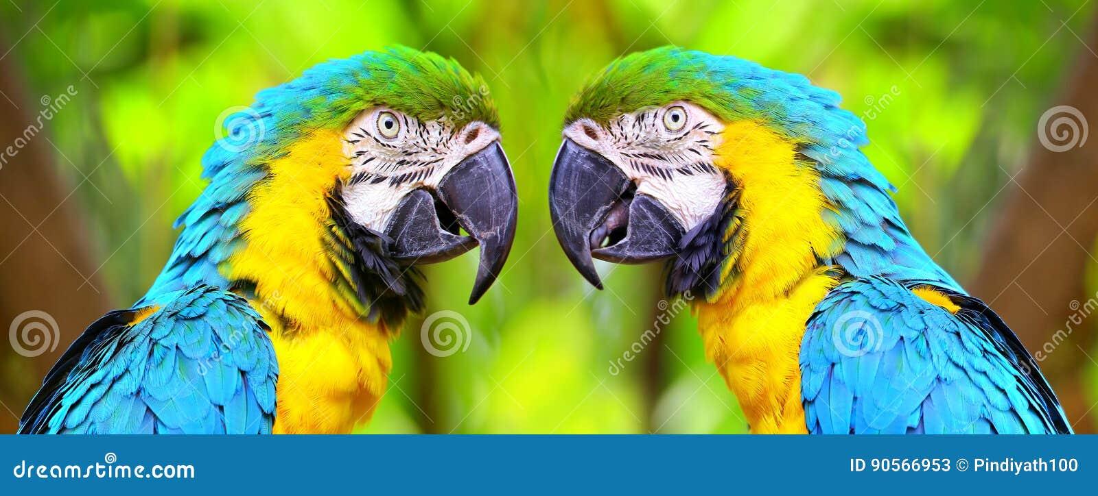 Die blauen und gelben Keilschwanzsittichvögel