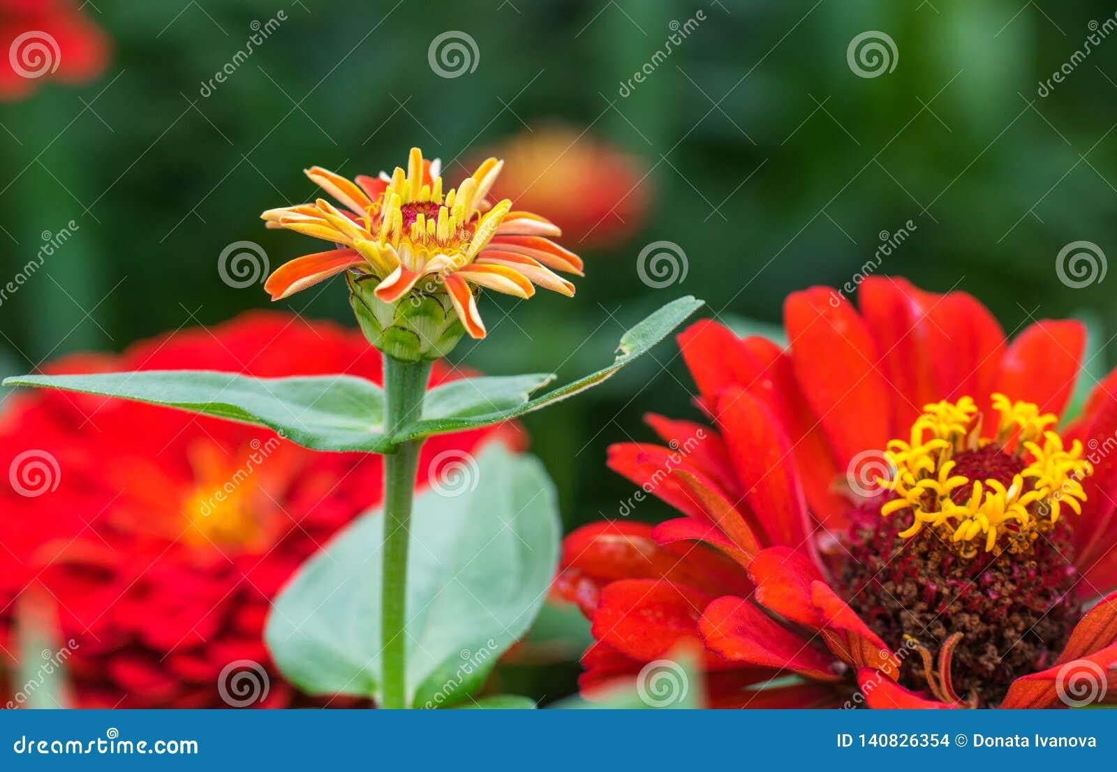 Die Blume Ñ  ynicism rote Farbe im Garten Blühendes rotes cyn