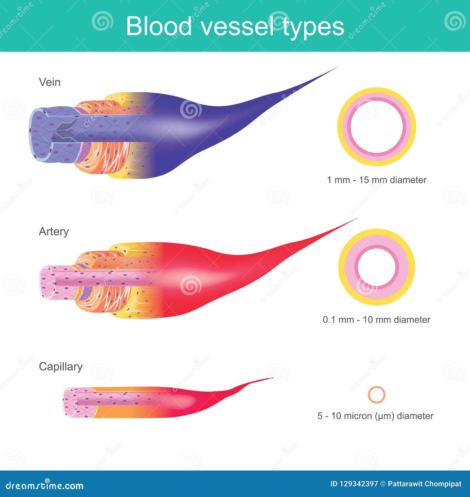 Die Blutgefäße im menschlichen Körper sind für transpor verantwortlich