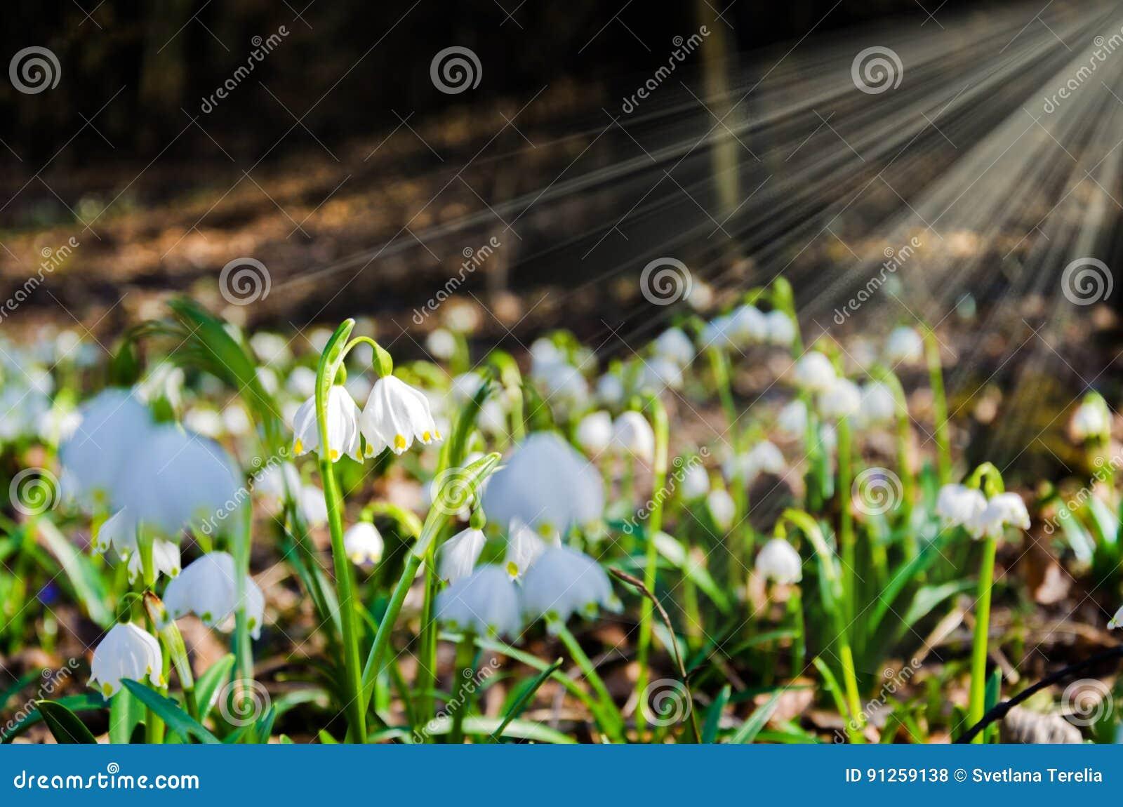 Die Ersten Blumen Des Fruhlinges Schneeglockchenblumen Auf Einem