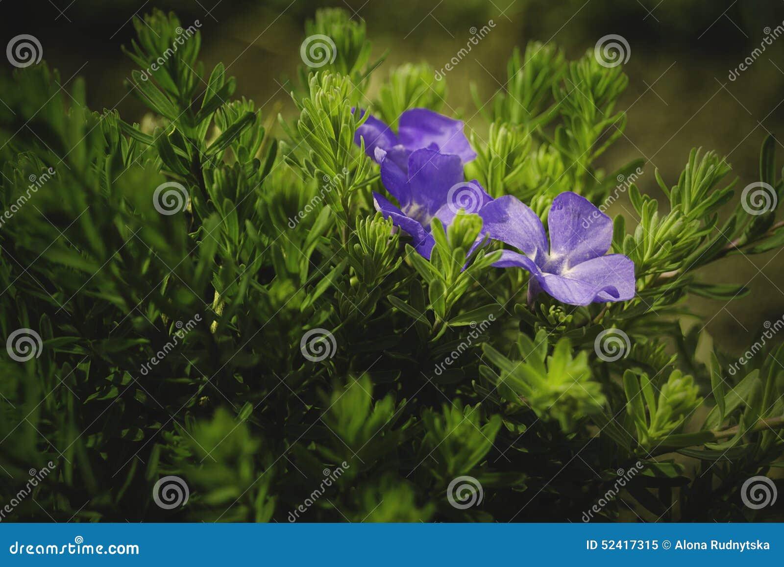 Die Ersten Blumen Fruhling Bluht Primeln Blaue Blume Gartenblume