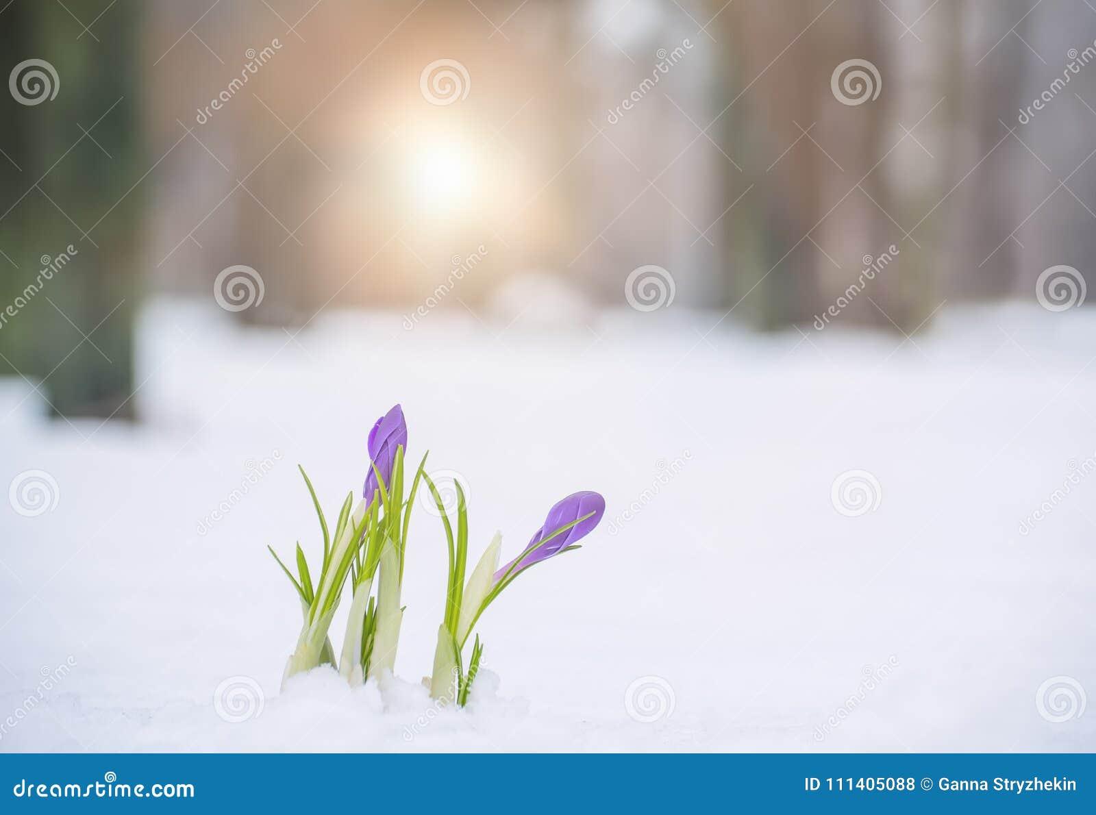 Die Ersten Fruhlingsblumen Im Schnee Stockfoto Bild Von Wald