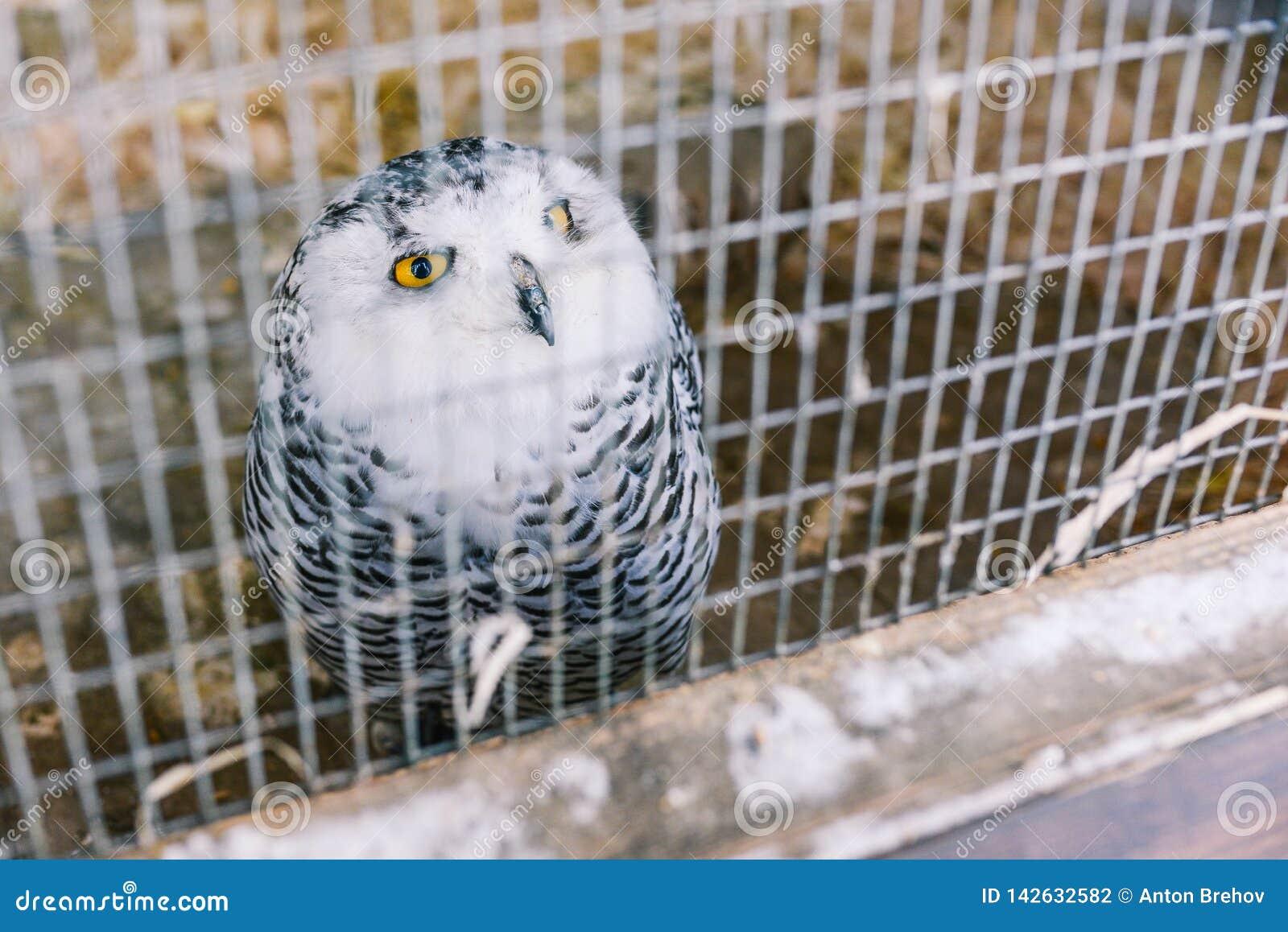 Die Eule ist im Käfig polar Die Eule ist in der Farbe mit großem Gefieder grau-weiß Große gelbe Augen und schwarzer Schnabel Eise