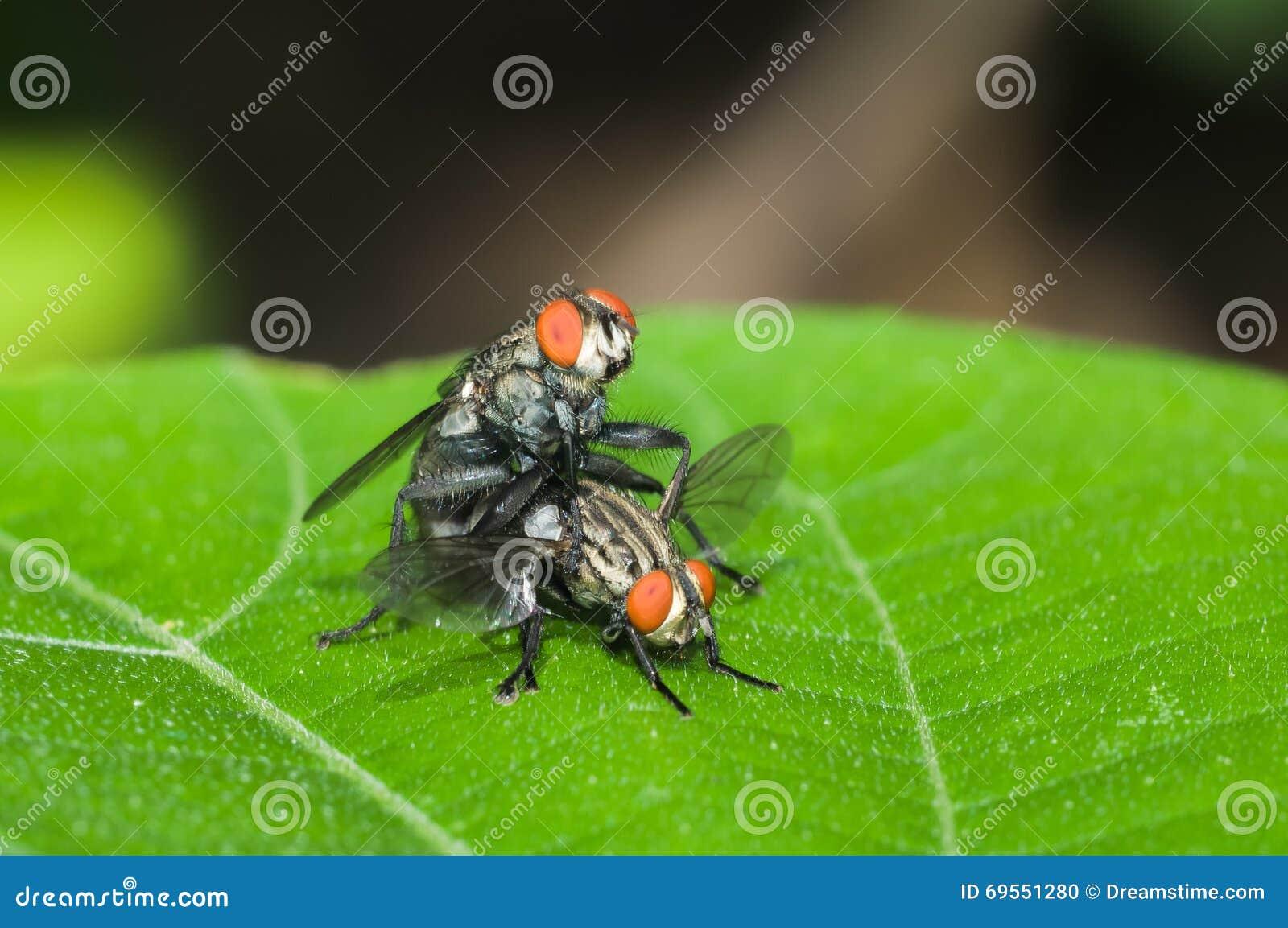 Die Fliegen züchten