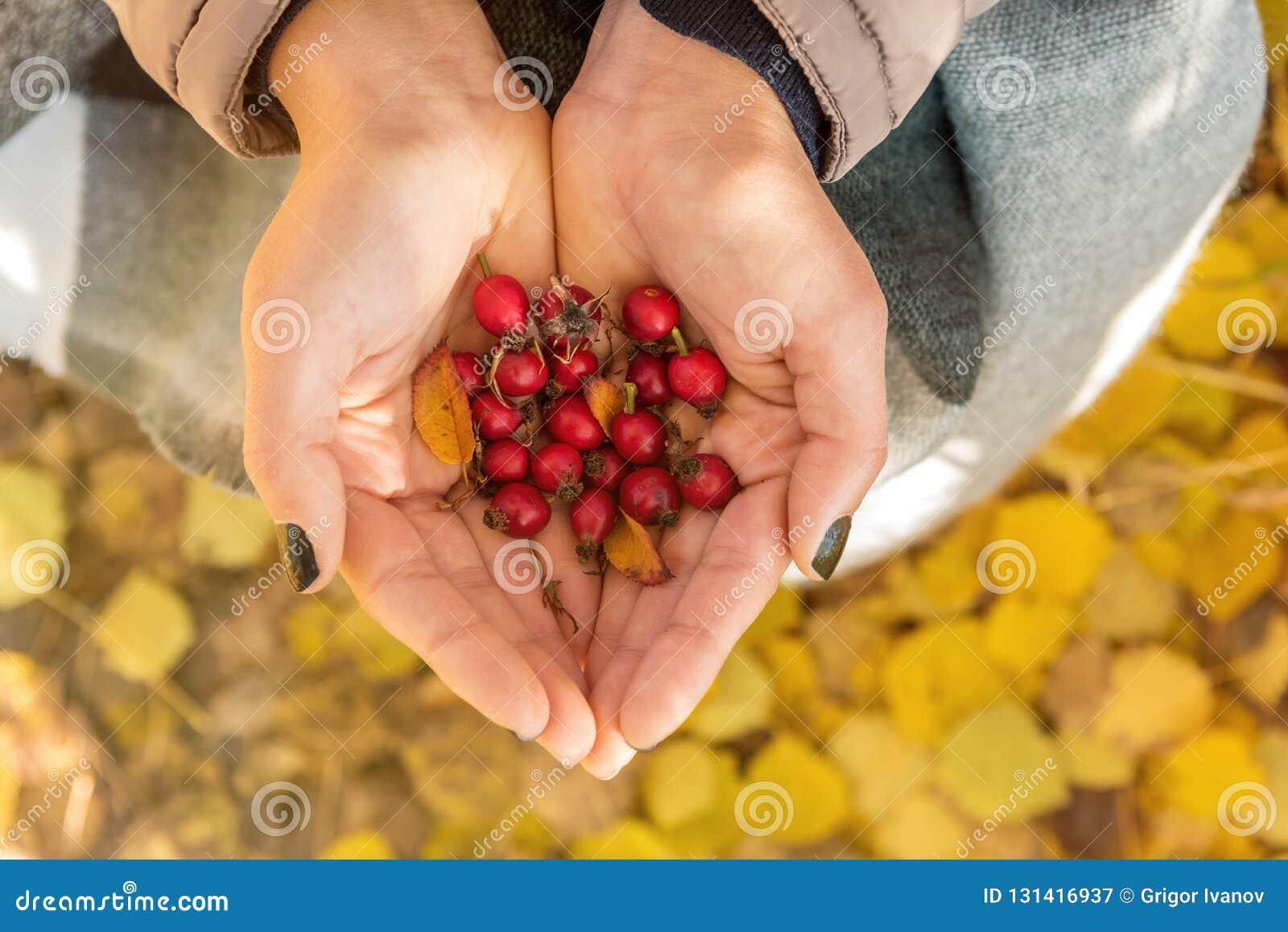 Die Frau, die Hagebutten hält, schließen oben im Herbst