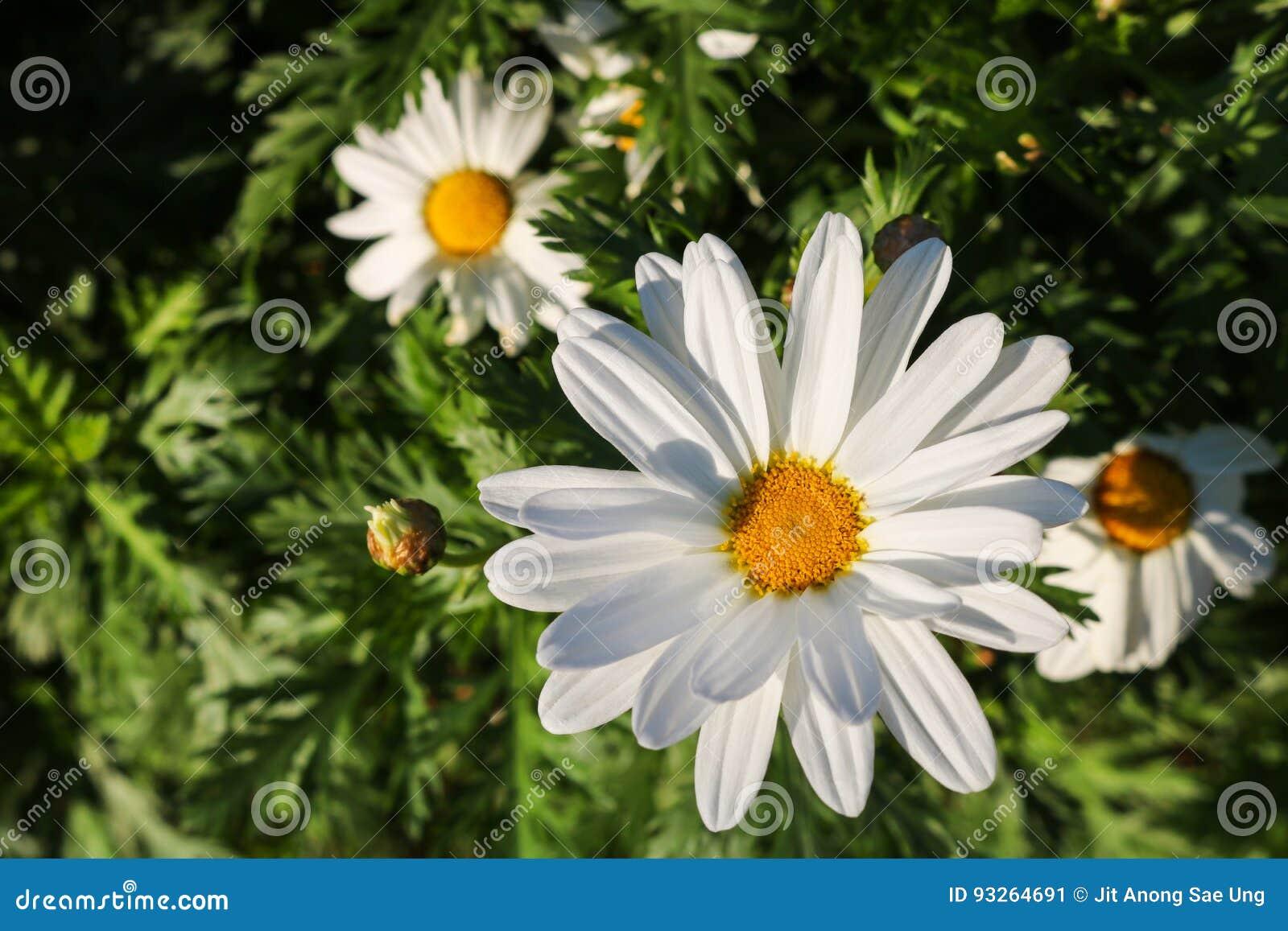 Die Gänseblümchenblume symbolisiert Unschuld, eine loyale Liebe und gentlene