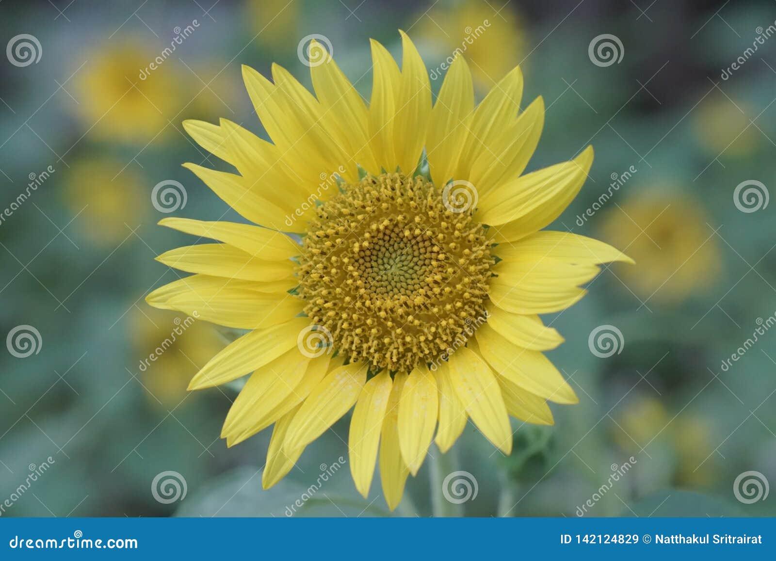 Die gelbe Sonnenblume