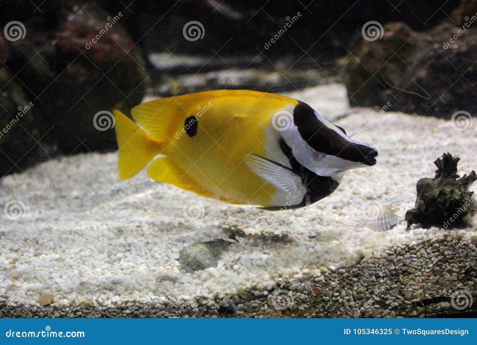 Die gelben Fische im Ozean