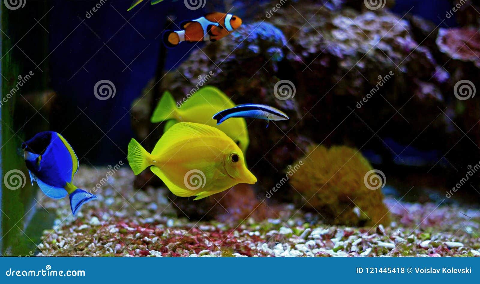 Die gelben Geruch Zebrasoma-flavescens