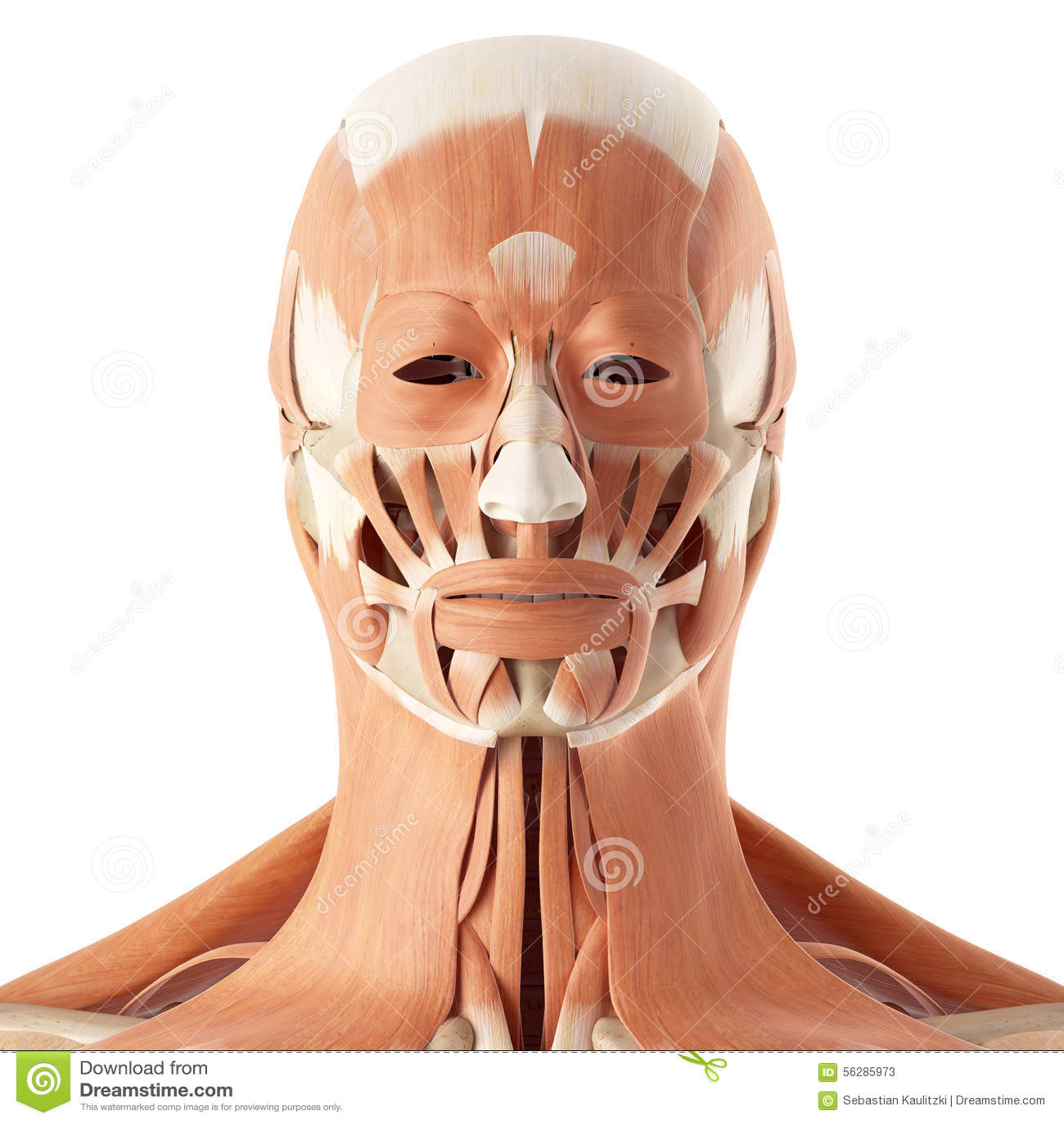 Die Gesichtsmuskeln stock abbildung. Illustration von kopf - 56285973