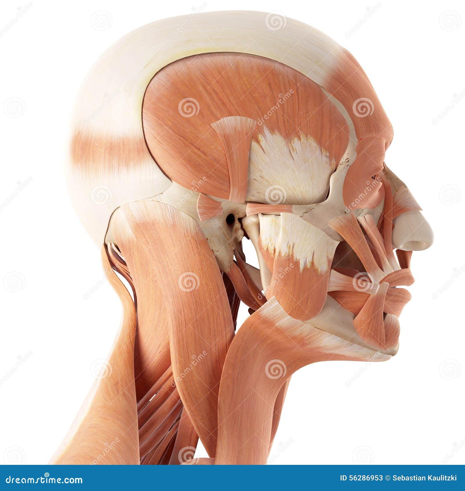 Beste Anatomie Gesichtsmuskeln Ideen - Menschliche Anatomie Bilder ...