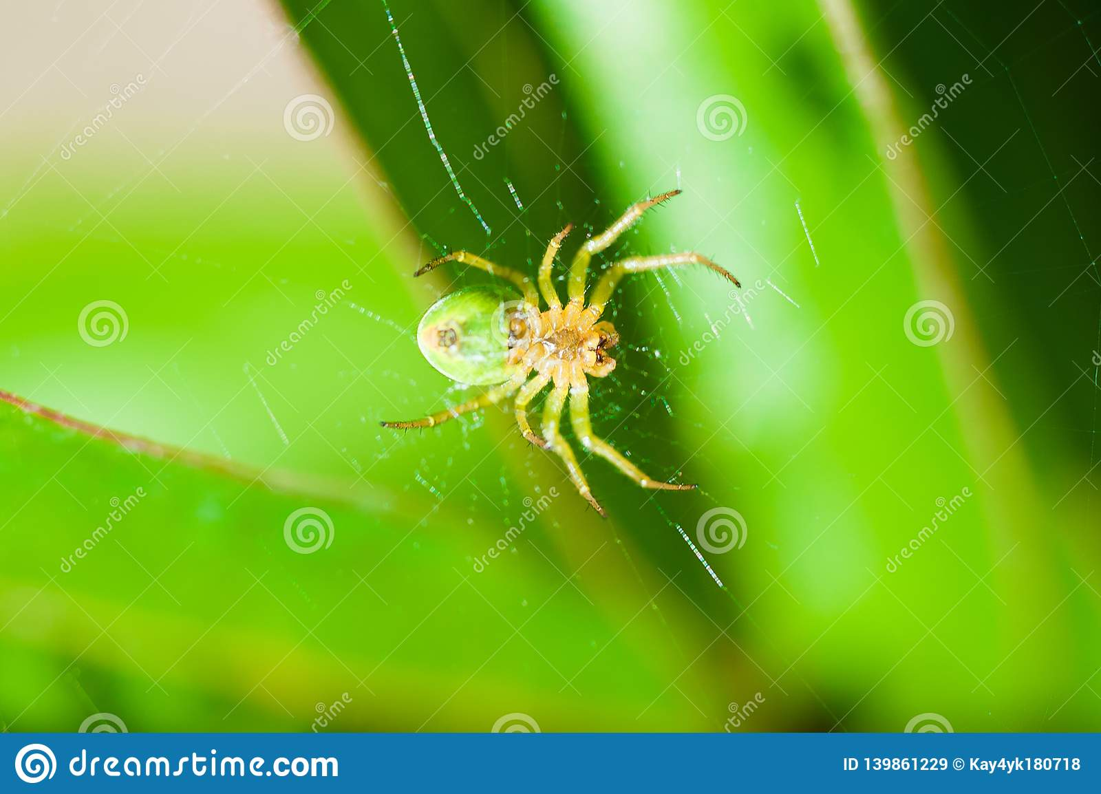 Die grüne Spinne sitzt im Netz und wartet auf Opfer