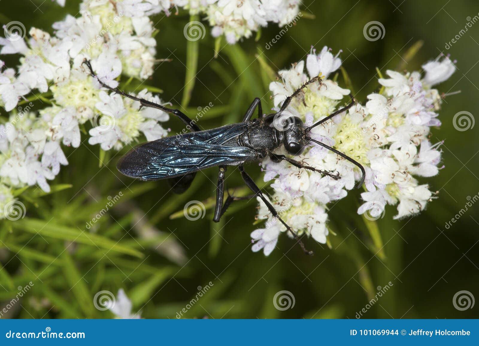 Die Große Schwarze Wespe Die Für Nektar Auf Gebirgsminze Herumsucht