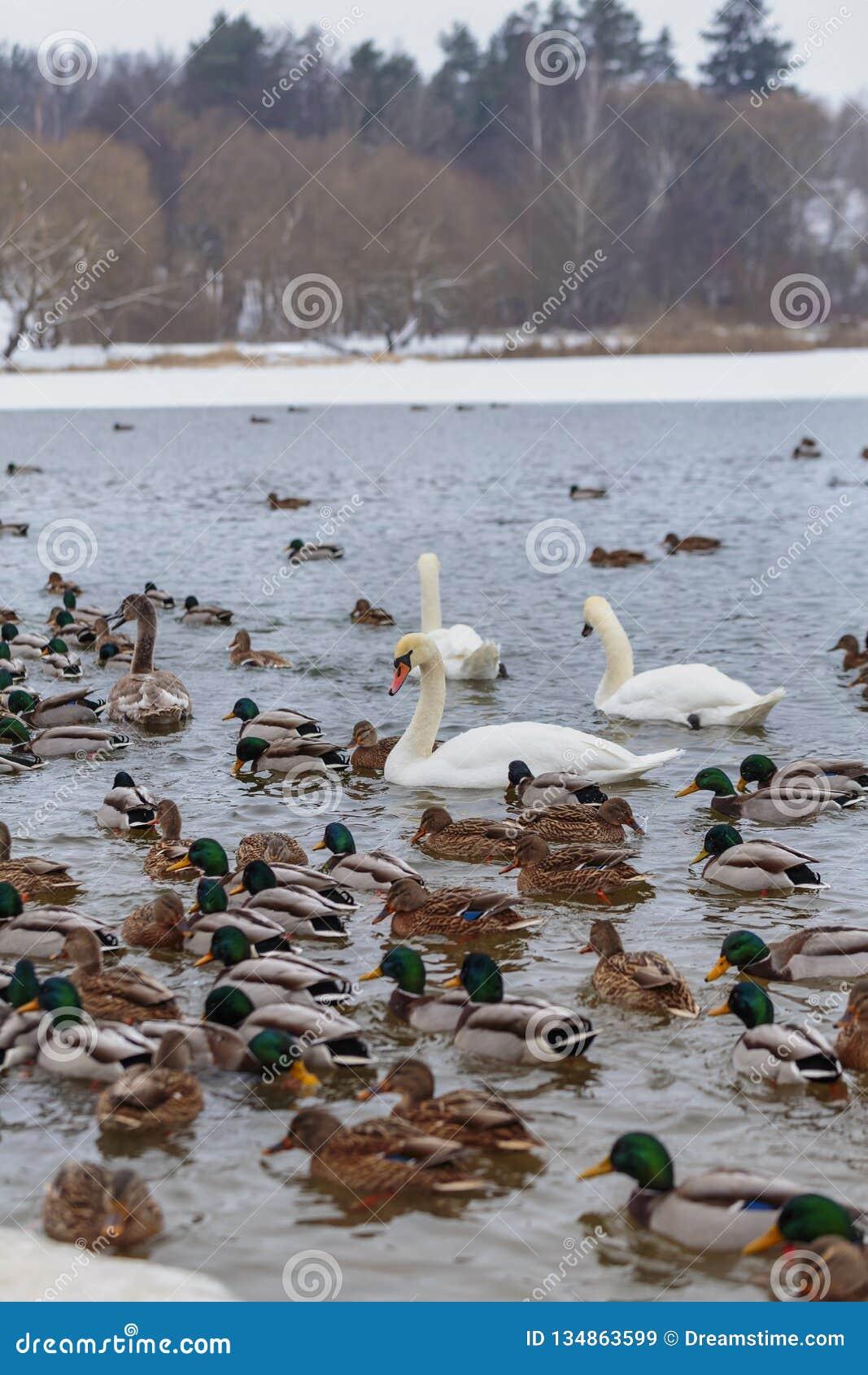 Die Höckerschwäne, die durch Enten umgeben werden, schwimmen im einfrierenden Winterfluß