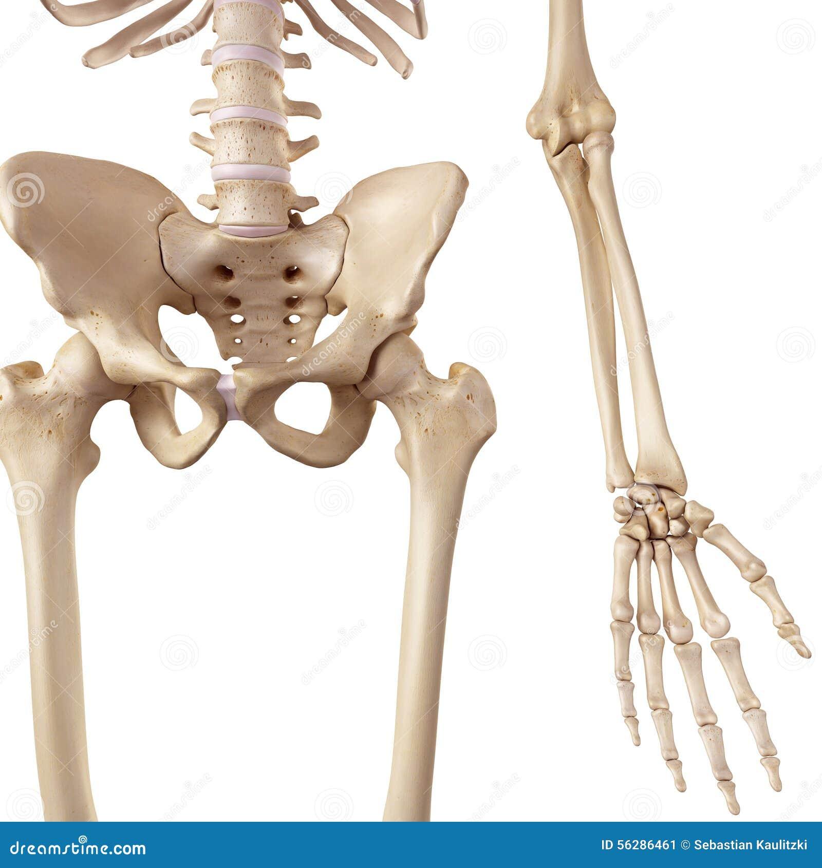 Beste Hüfte Bilder - Anatomie Und Physiologie Knochen Bilder ...