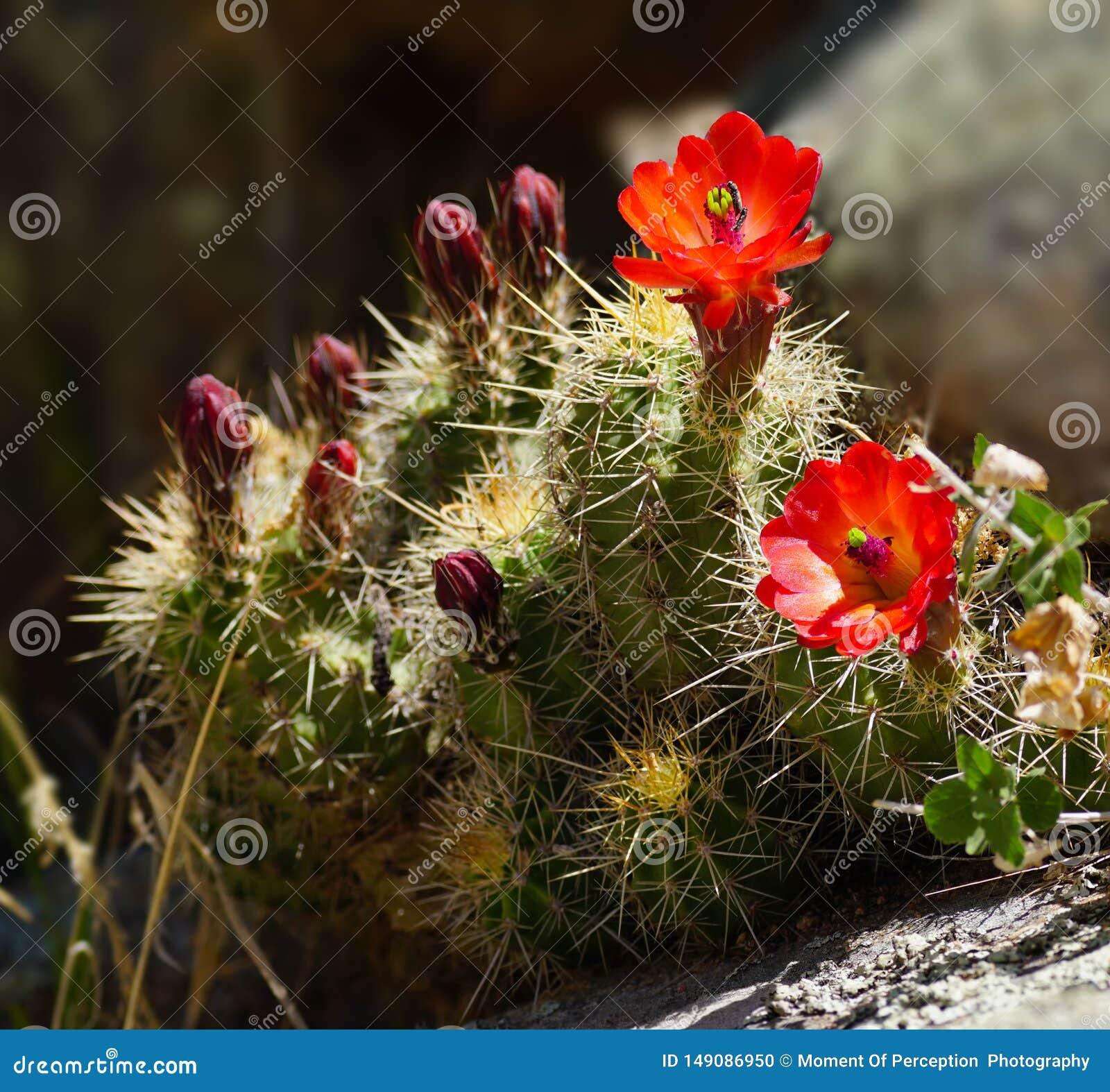 Die hellen roten Kaktus-Blumen des Frühlinges