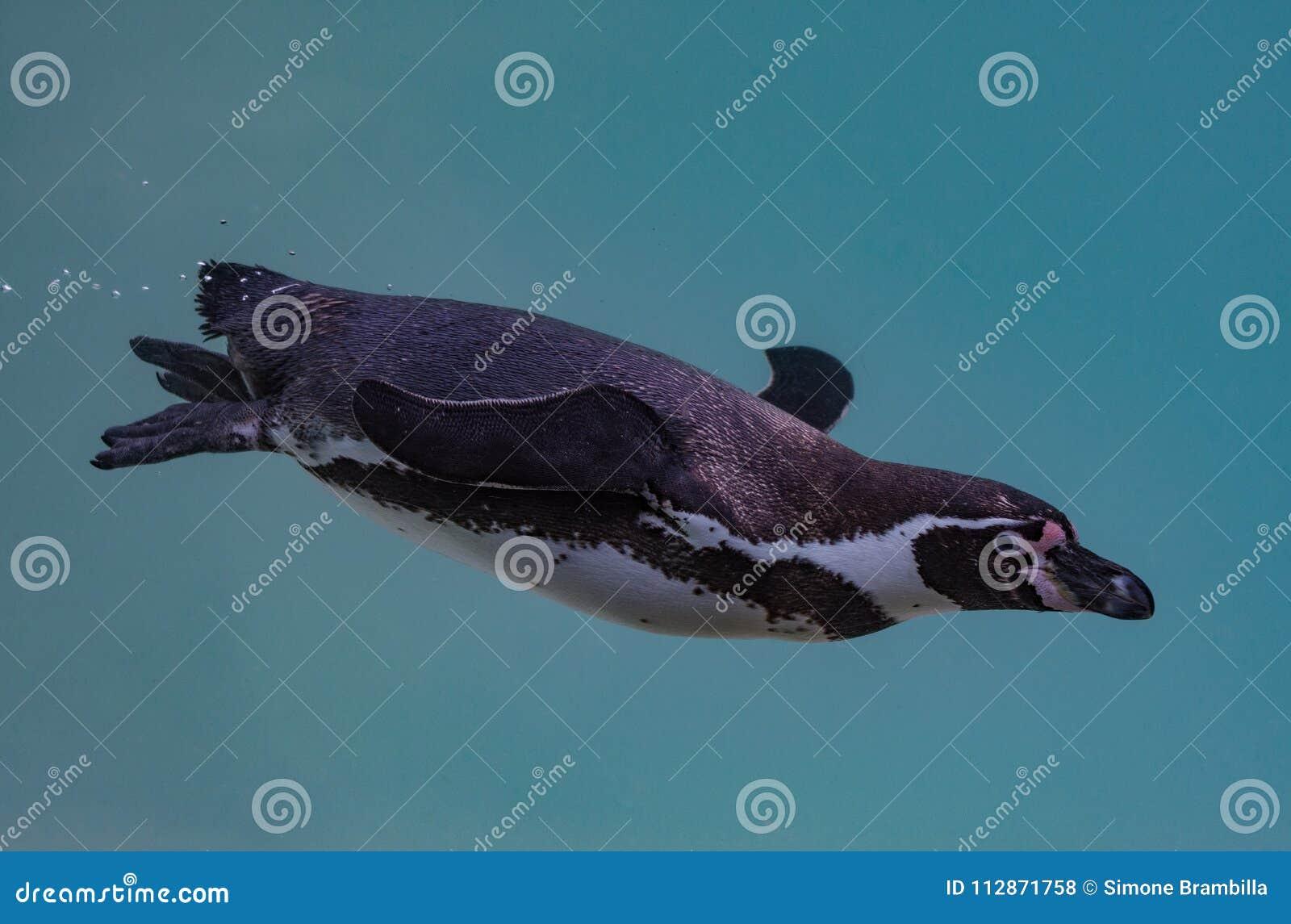 Die Humboldt-Pinguinschwimmen in das Wasser