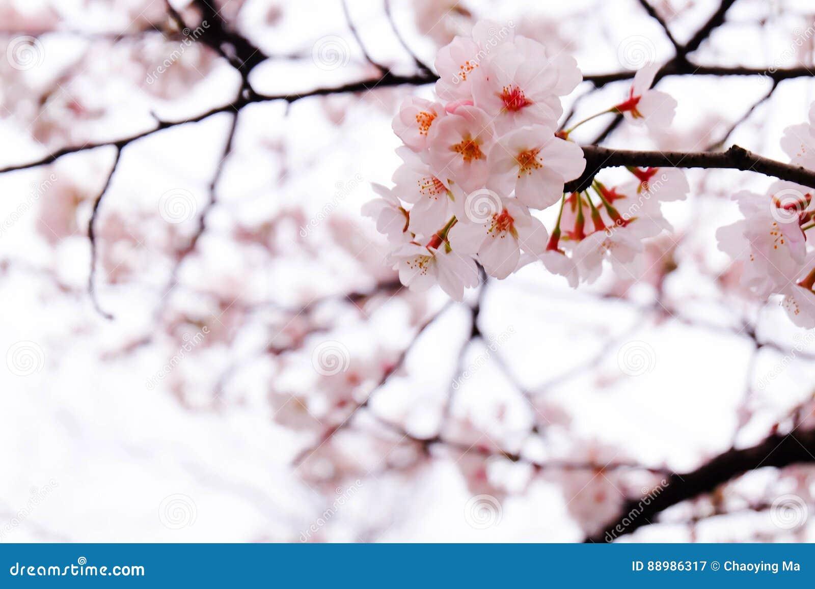 Die Jahreszeit von Kirschblüte