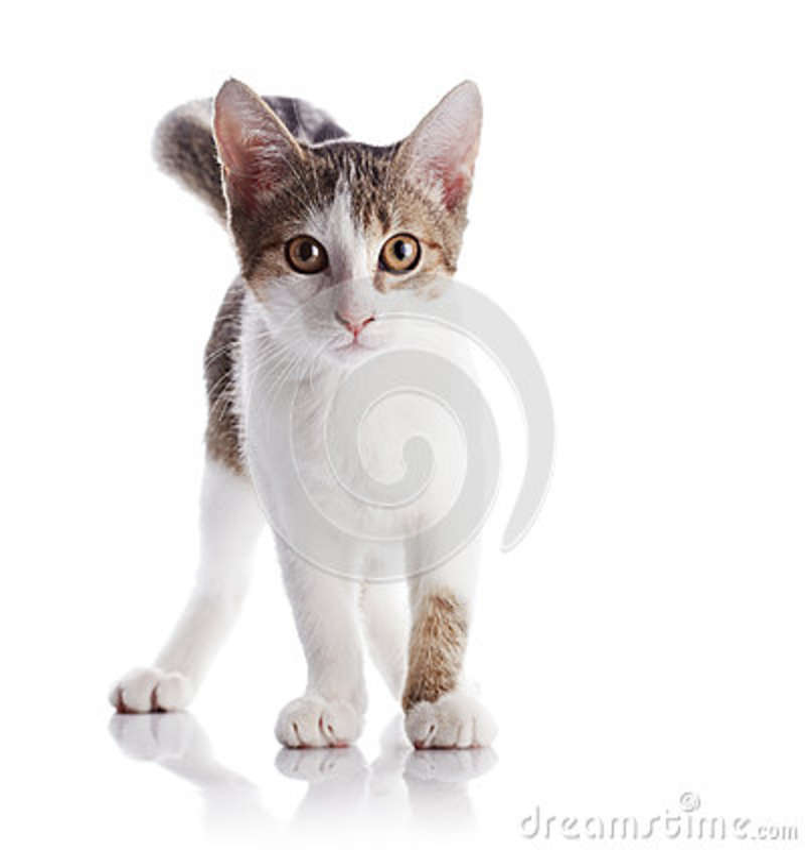Die Kätzchenkosten auf einem weißen Hintergrund