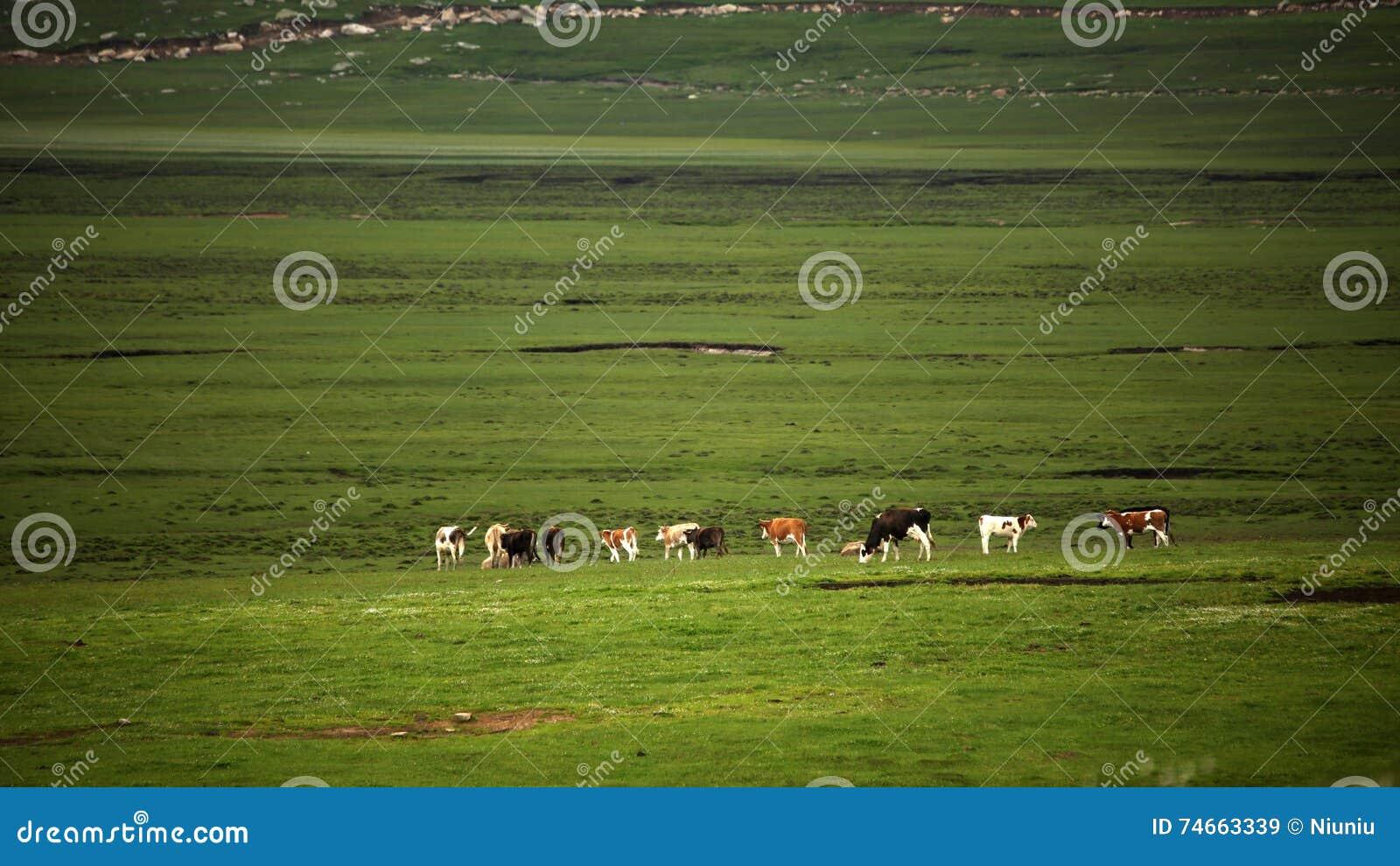 Die Kühe im Sumpfgebiet