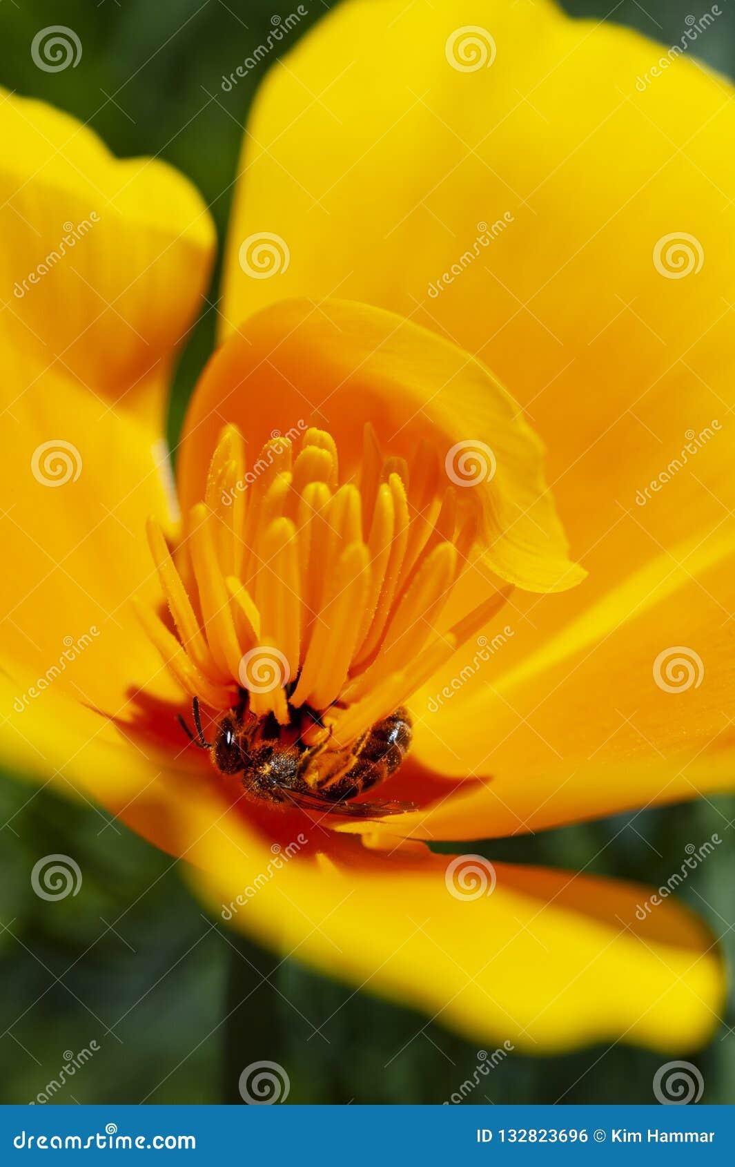 Die Kalifornien-Staatsblume, die Kalifornien-Mohnblume, öffnet seine Blumenblätter, die für die Sonne und die Bestäubung täglich