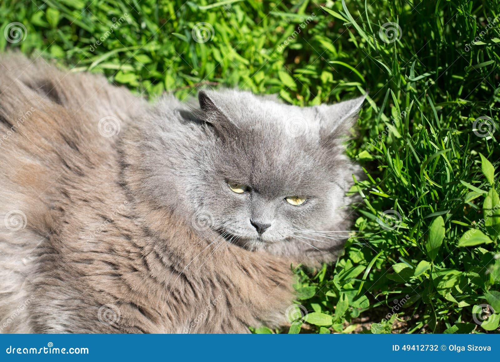 Download Die Katze auf einem Gras stockfoto. Bild von grau, nett - 49412732