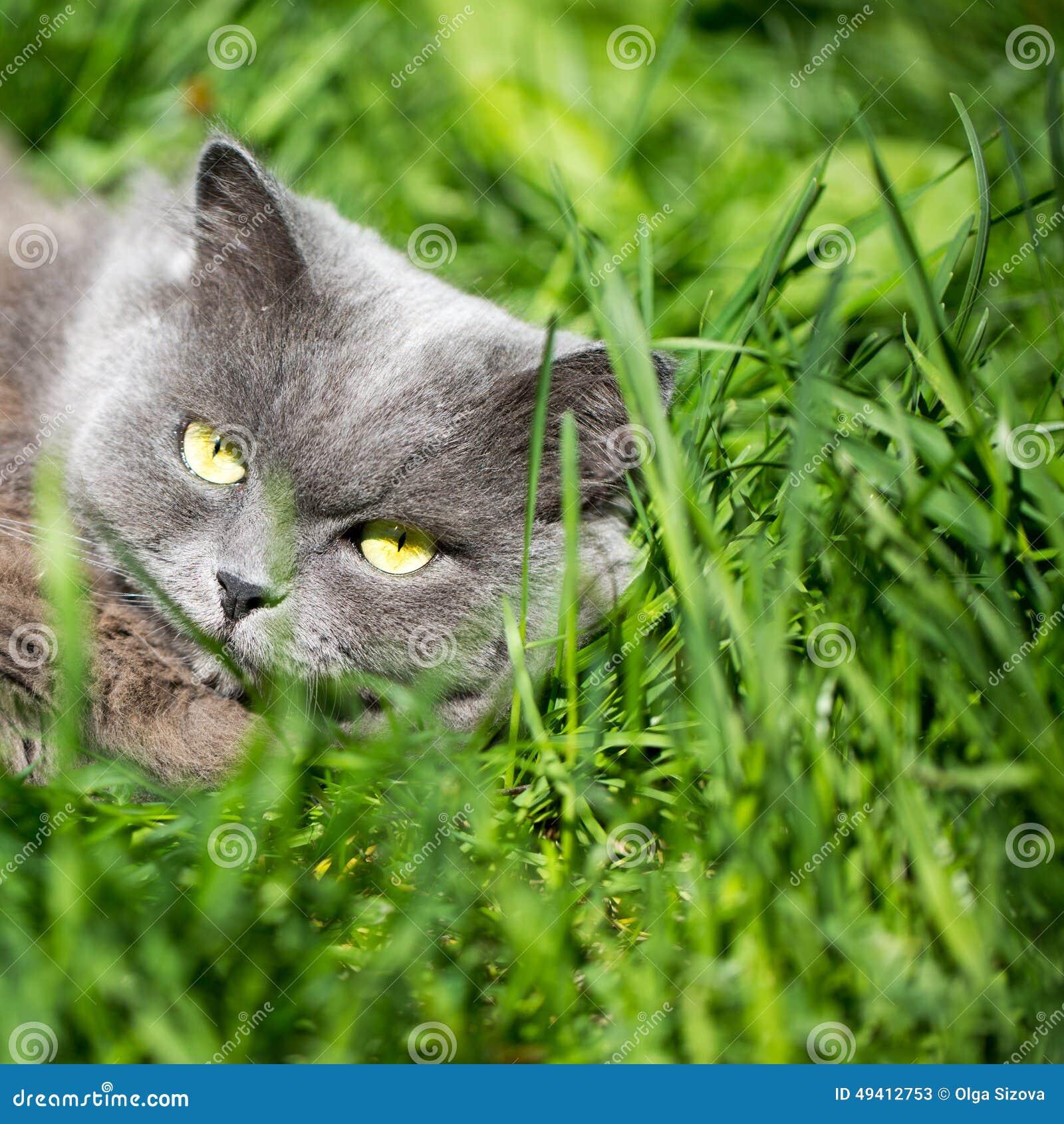 Download Die Katze auf einem Gras stockbild. Bild von jäger, hintergrund - 49412753