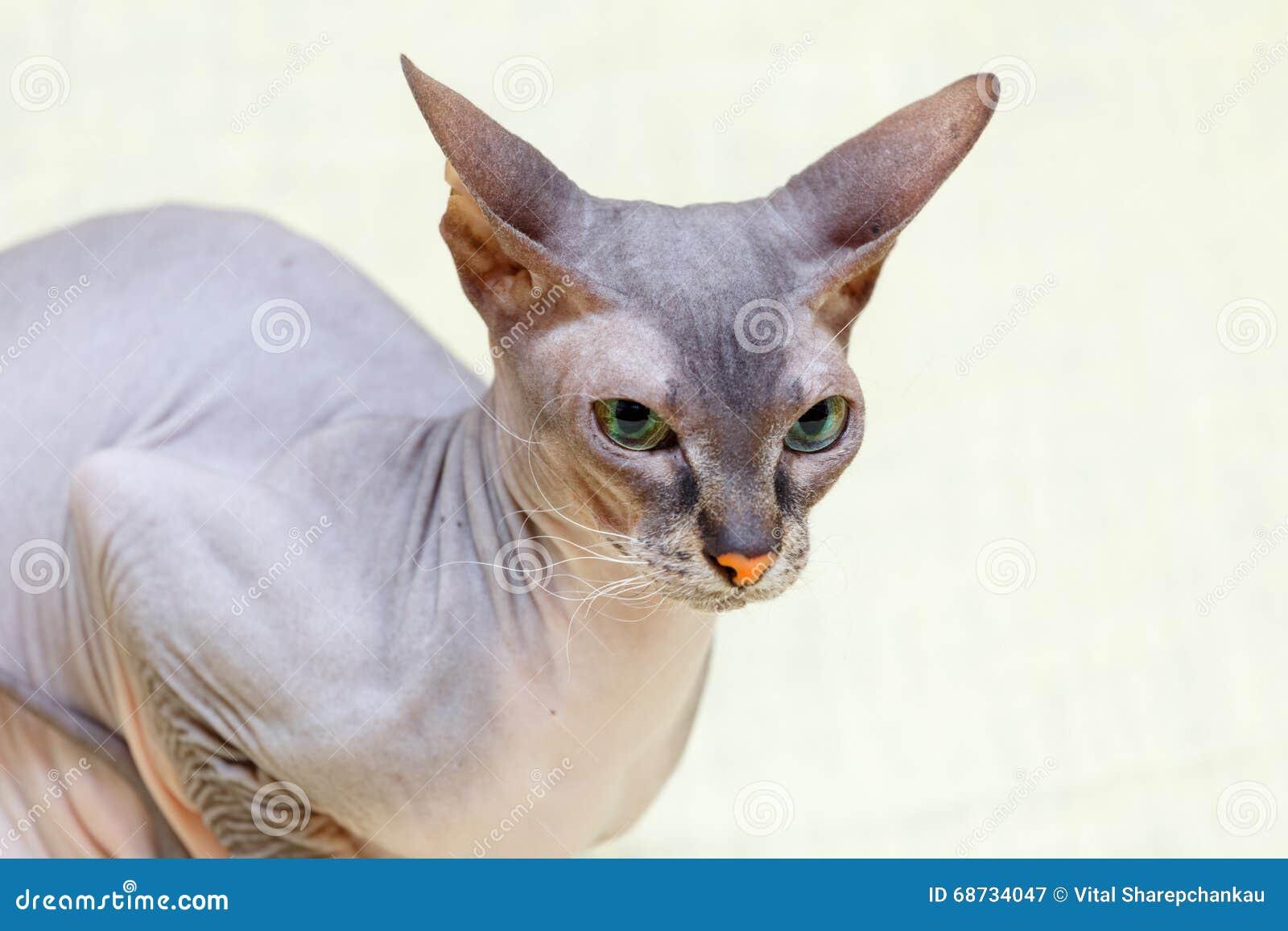 Die Katze Donskoy Sphynx