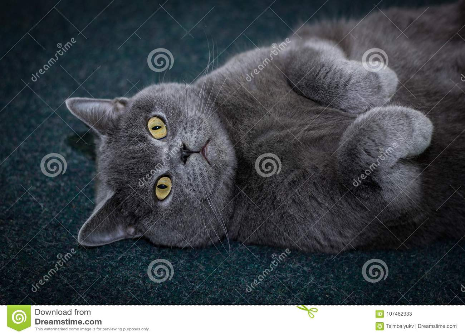 Die Katze ist auf dem hinteren Grau fett