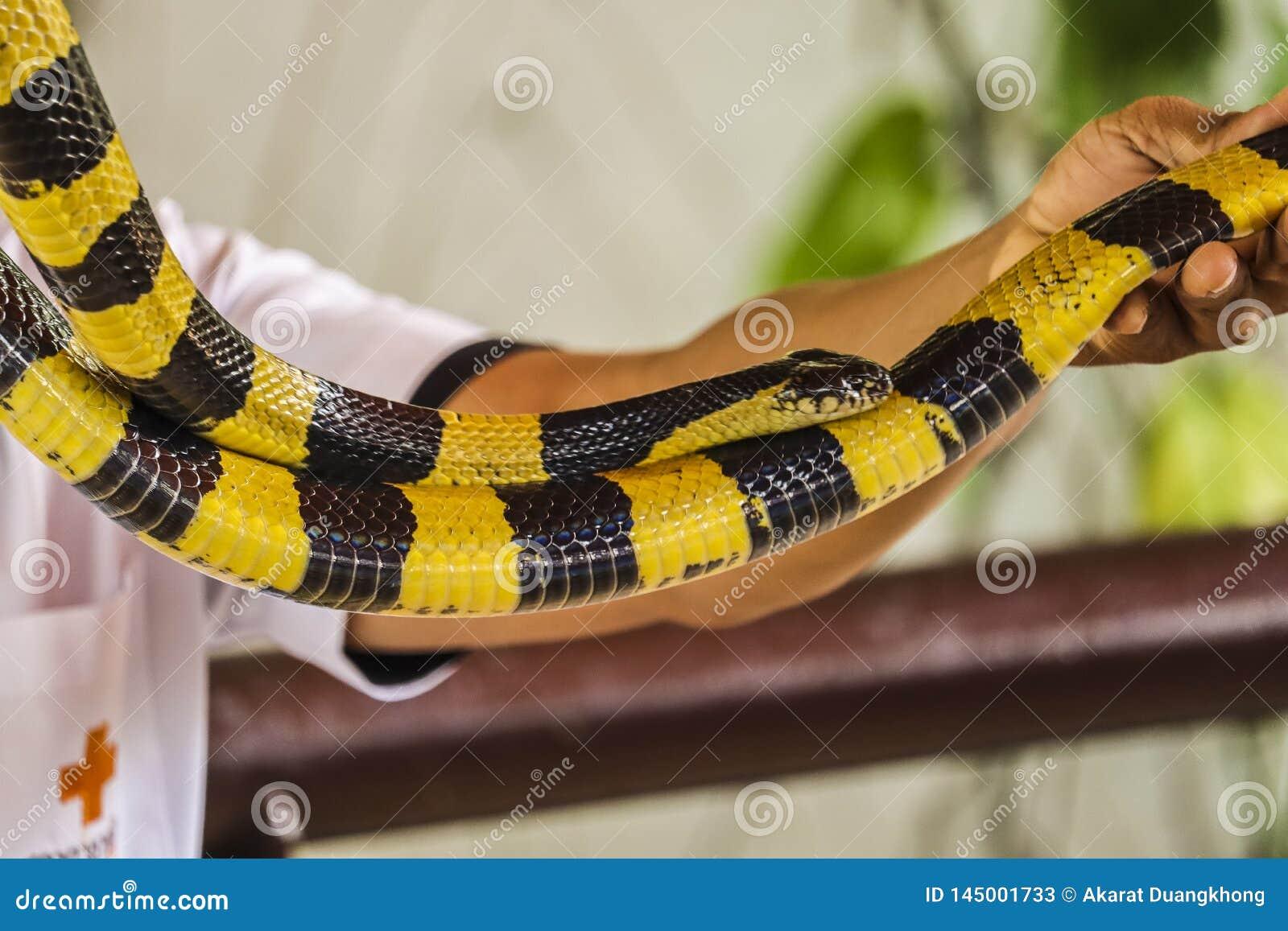 Die Kobra verbreitete die Haube