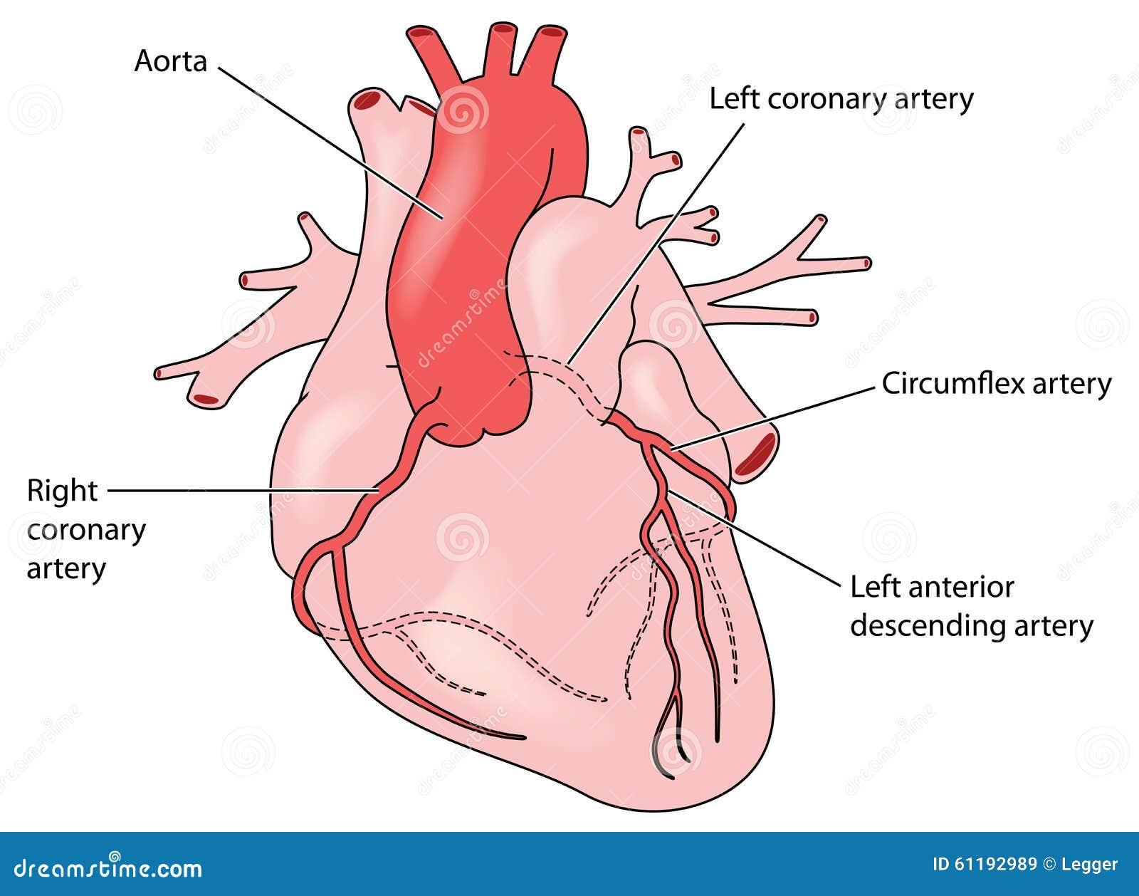 Die Koronararterien Des Herzens Vektor Abbildung - Illustration von ...