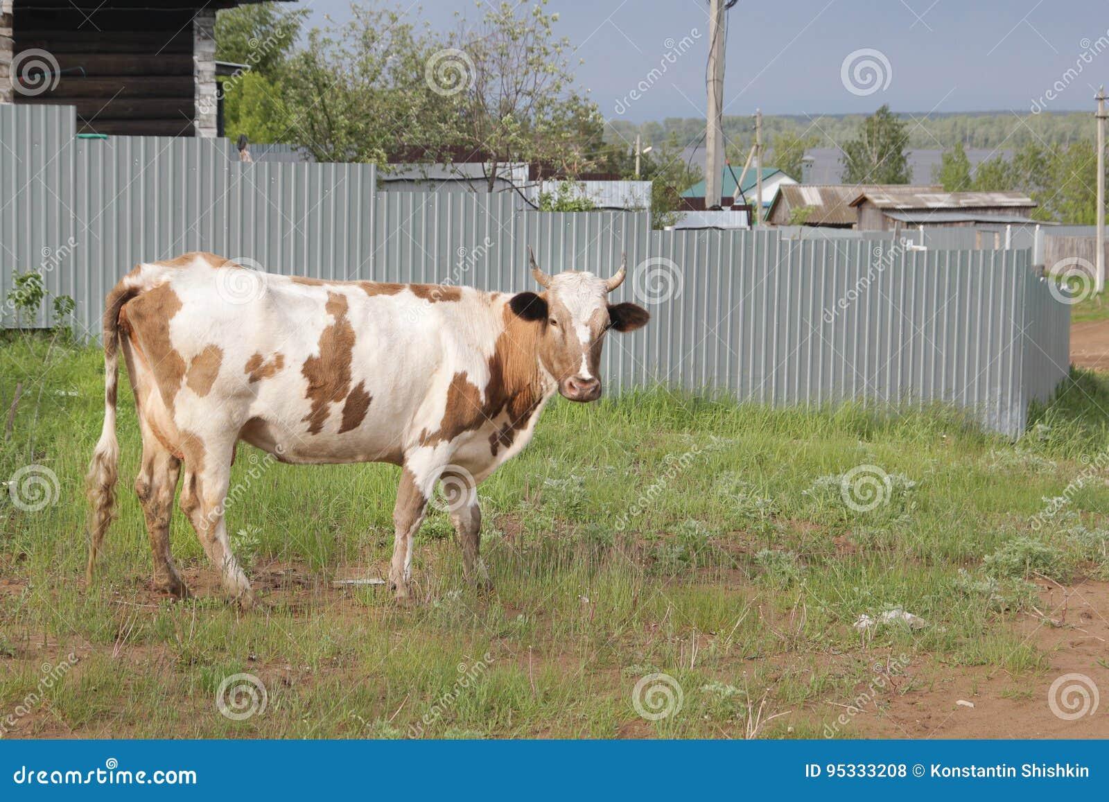 Die Kuh Geht Am Dorf Nahe Zaun Russische Landschaft Stockfoto