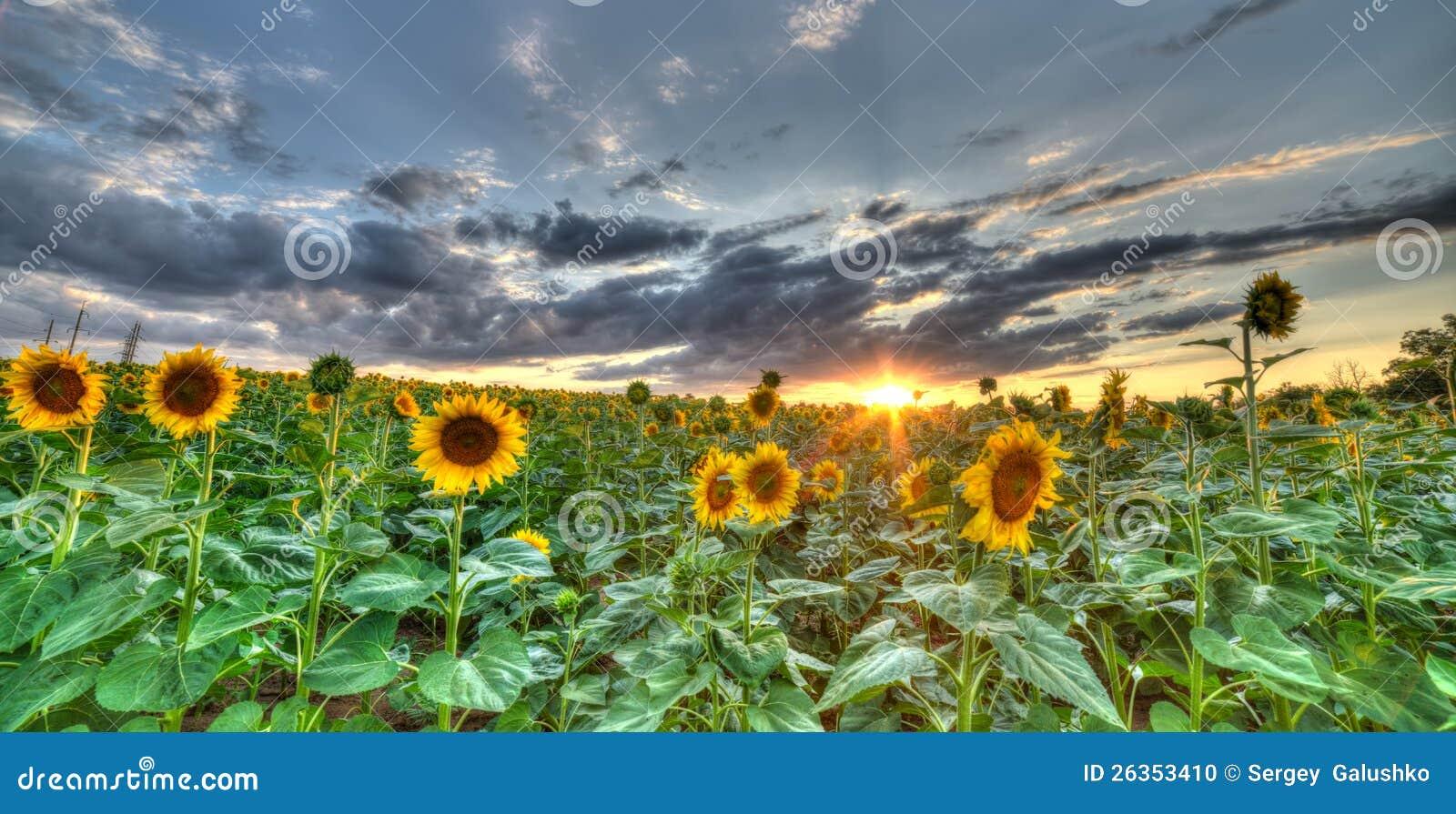 Die Landschaft des Feldes mit Sonnenblume