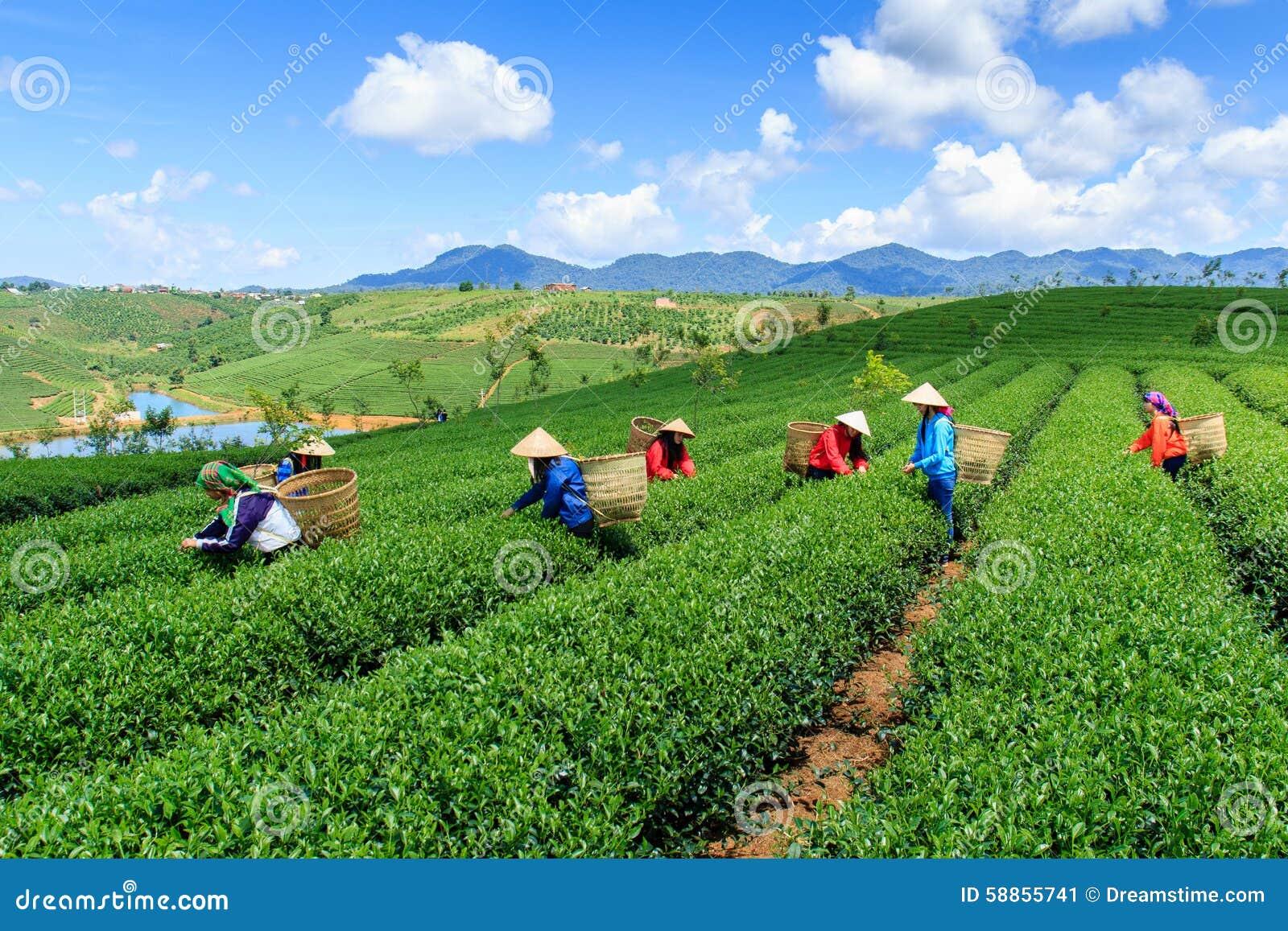 Die Landwirte, die an Tee arbeiten, bewirtschaften an Bao Loc-Hochland, Vietnam