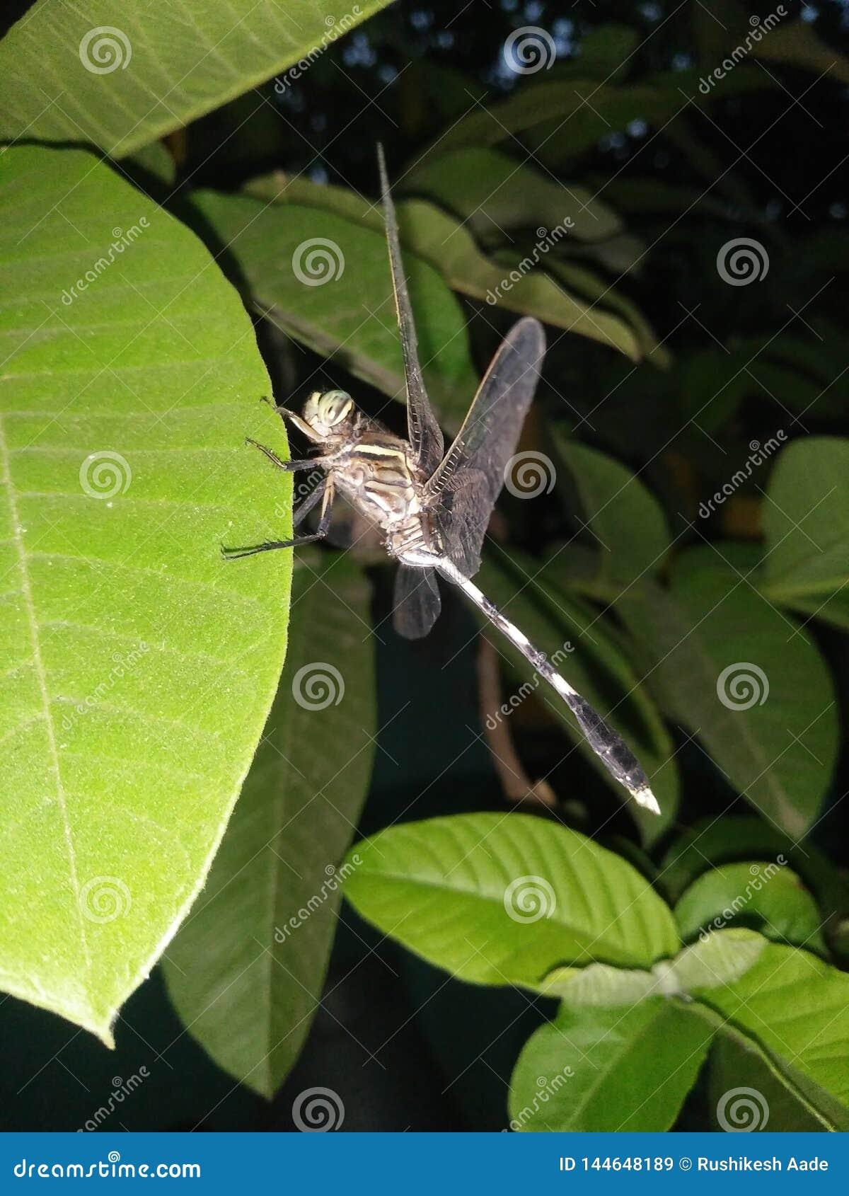 Die Libelle auf dem Blatt nachts
