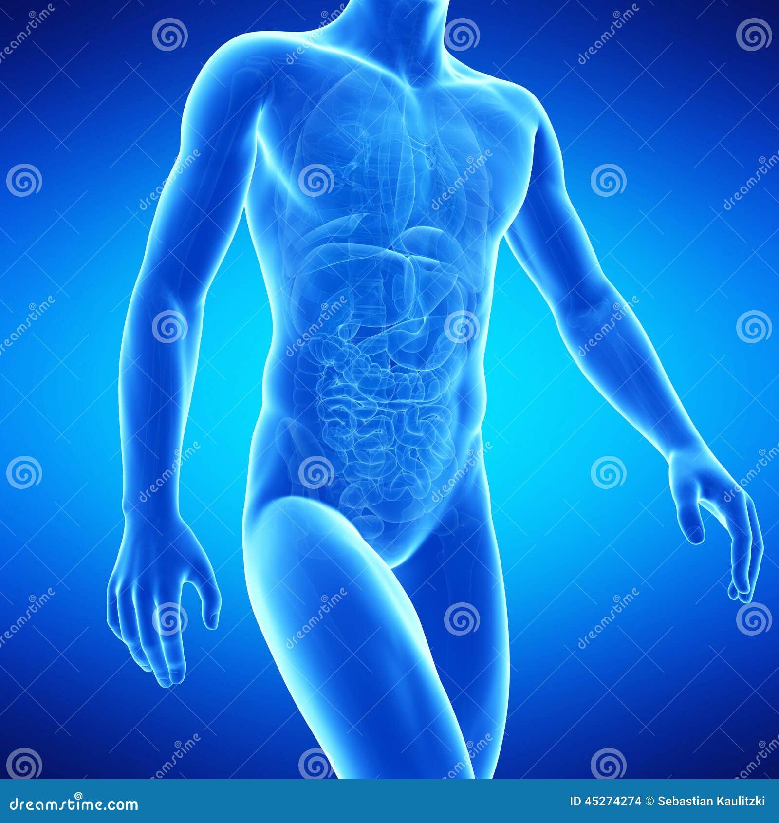 Die menschliche Anatomie stock abbildung. Illustration von graphik ...