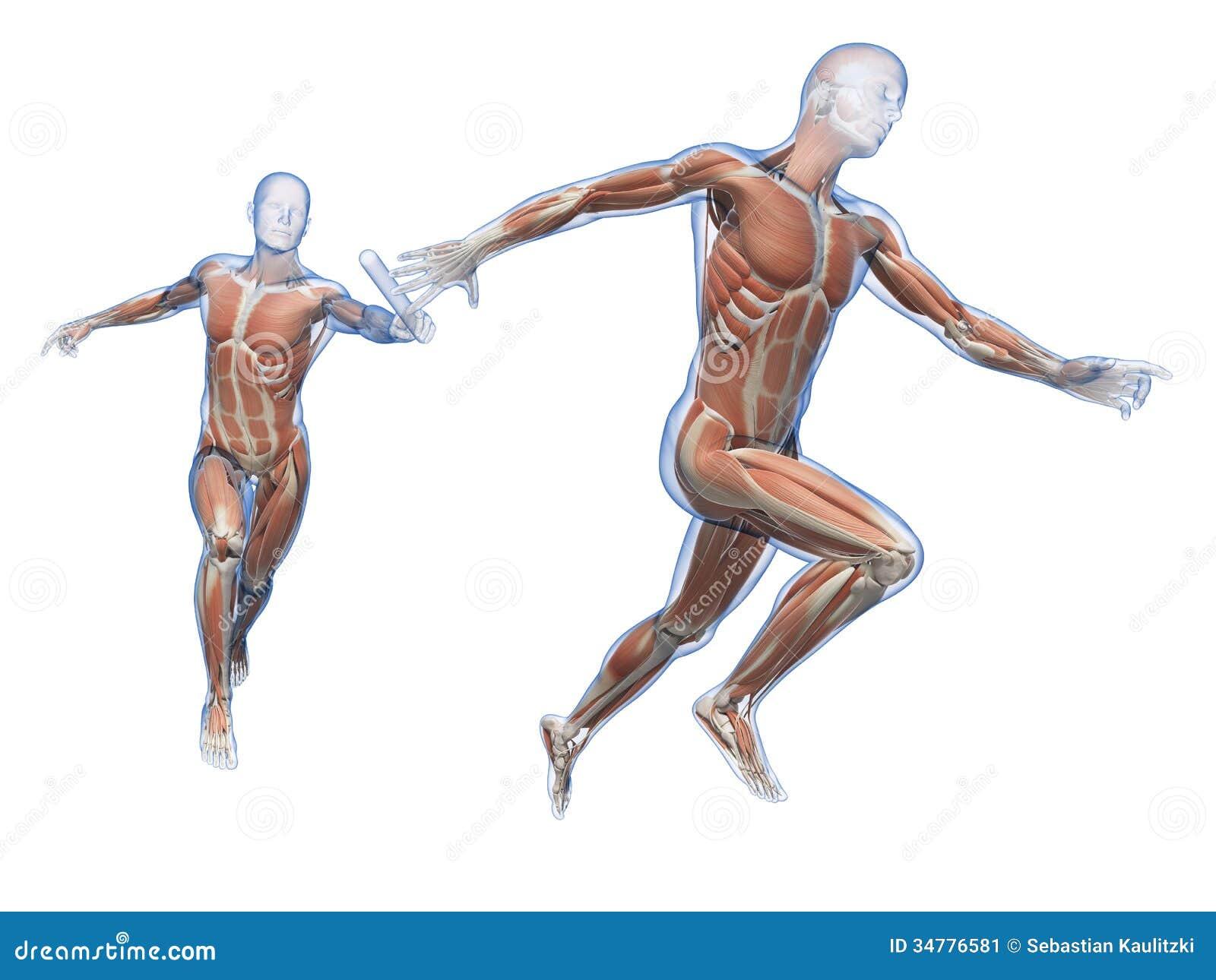 Die menschliche Muskulatur stock abbildung. Illustration von ...