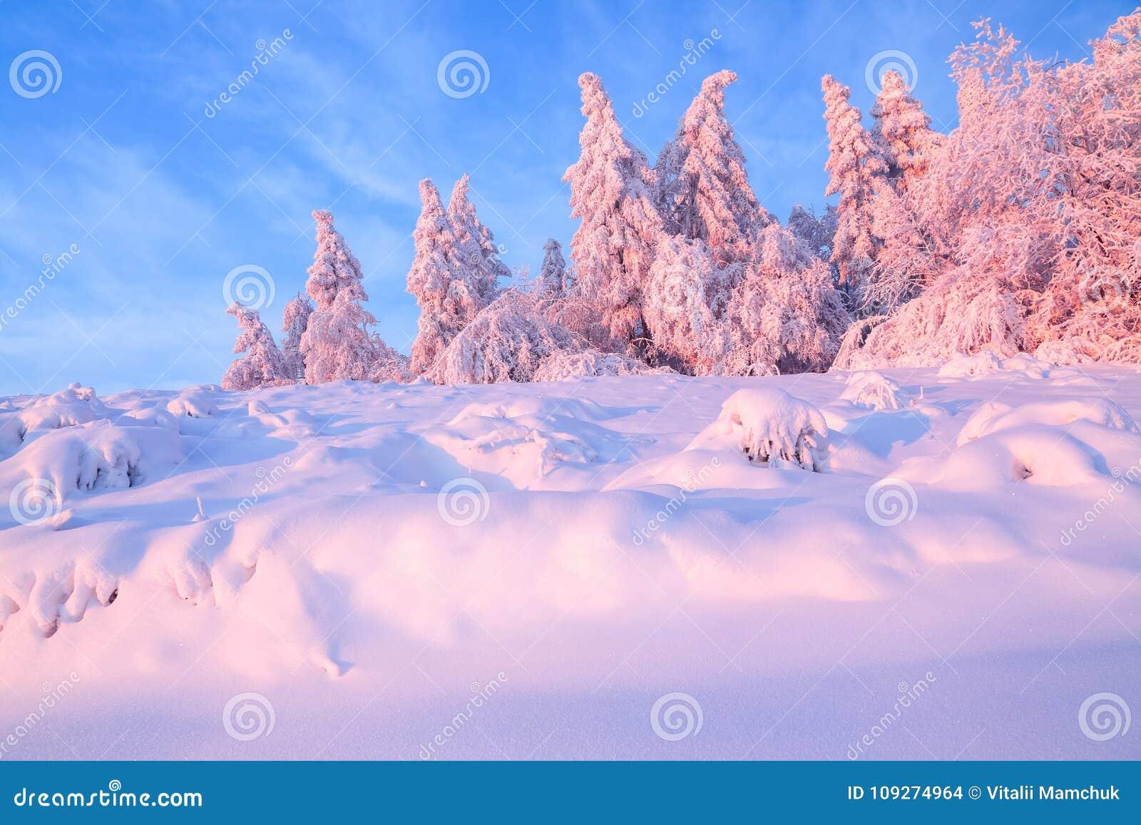 Die netten verdrehten Bäume, die mit starker Schneeschicht bedeckt werden, erleuchten rosafarbenen farbigen Sonnenuntergang am sc