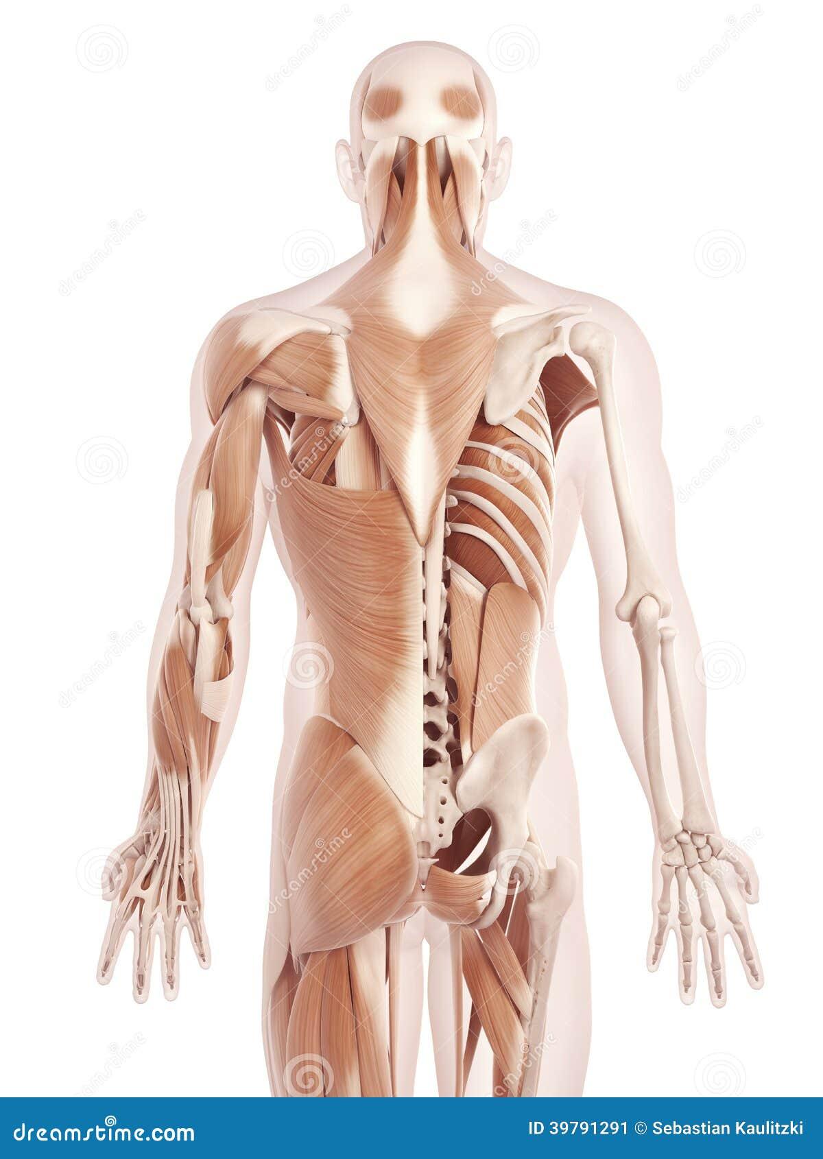 Die Rückenmuskulatur stock abbildung. Illustration von muskel - 39791291