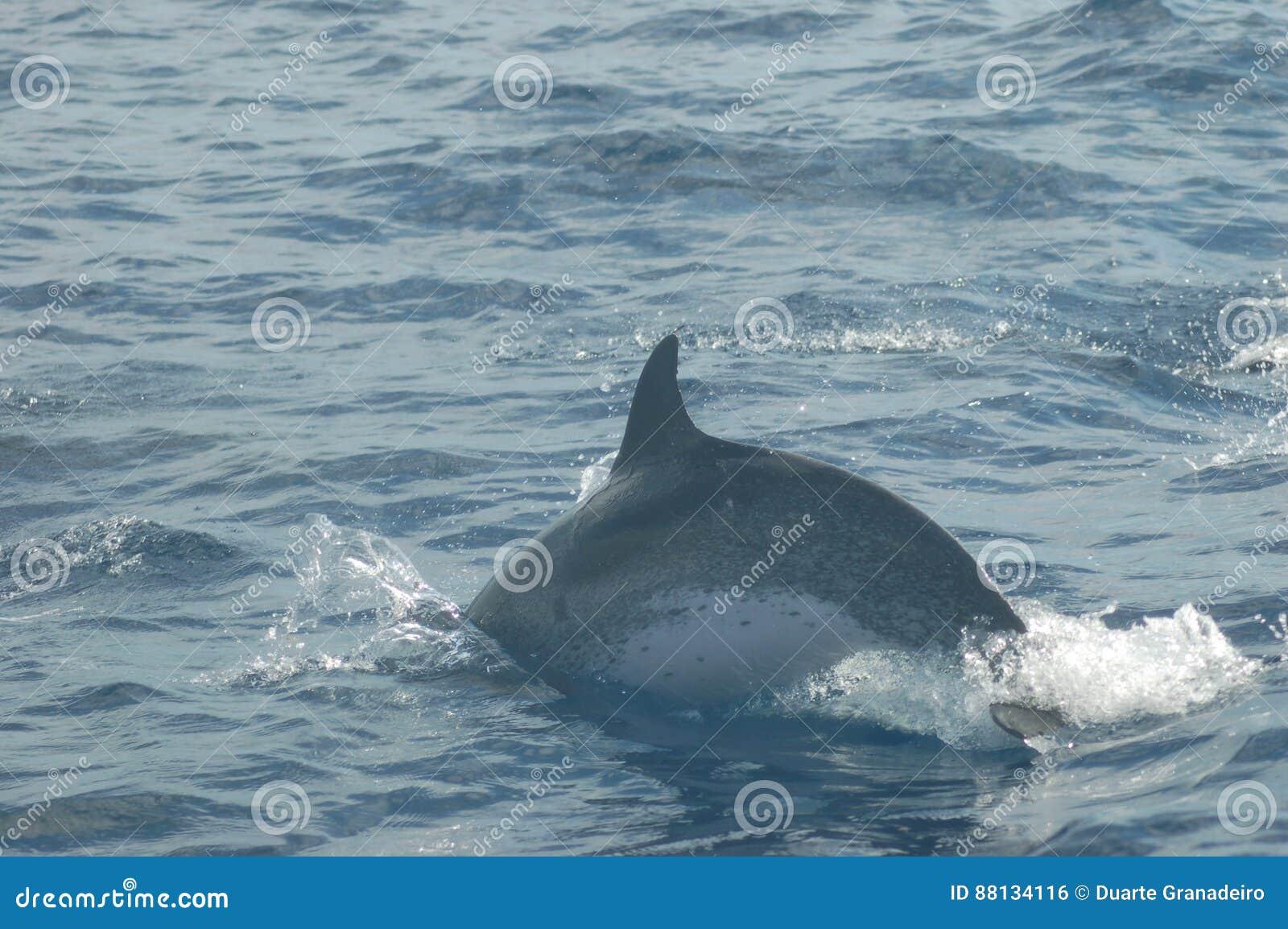 Die Schönheit von den Salzwasserdelphinen, die im Atlantik spielen