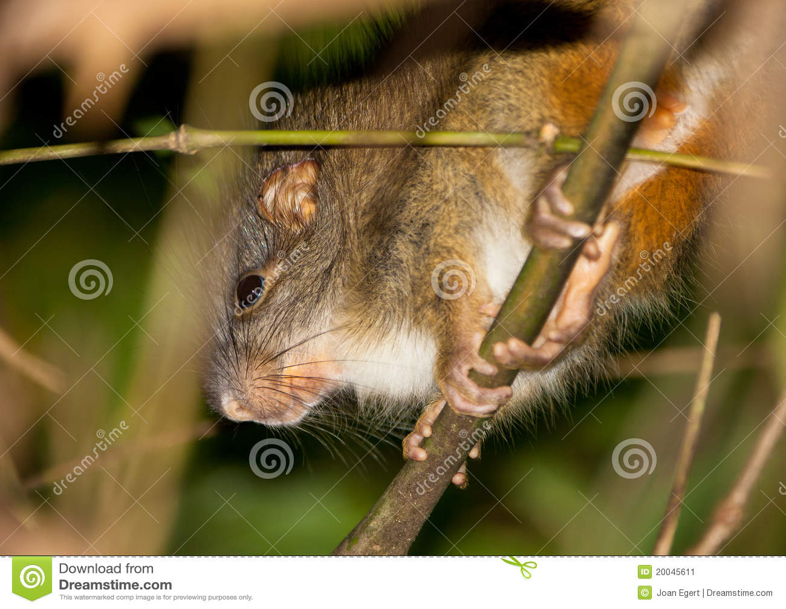 Bambus Ratte