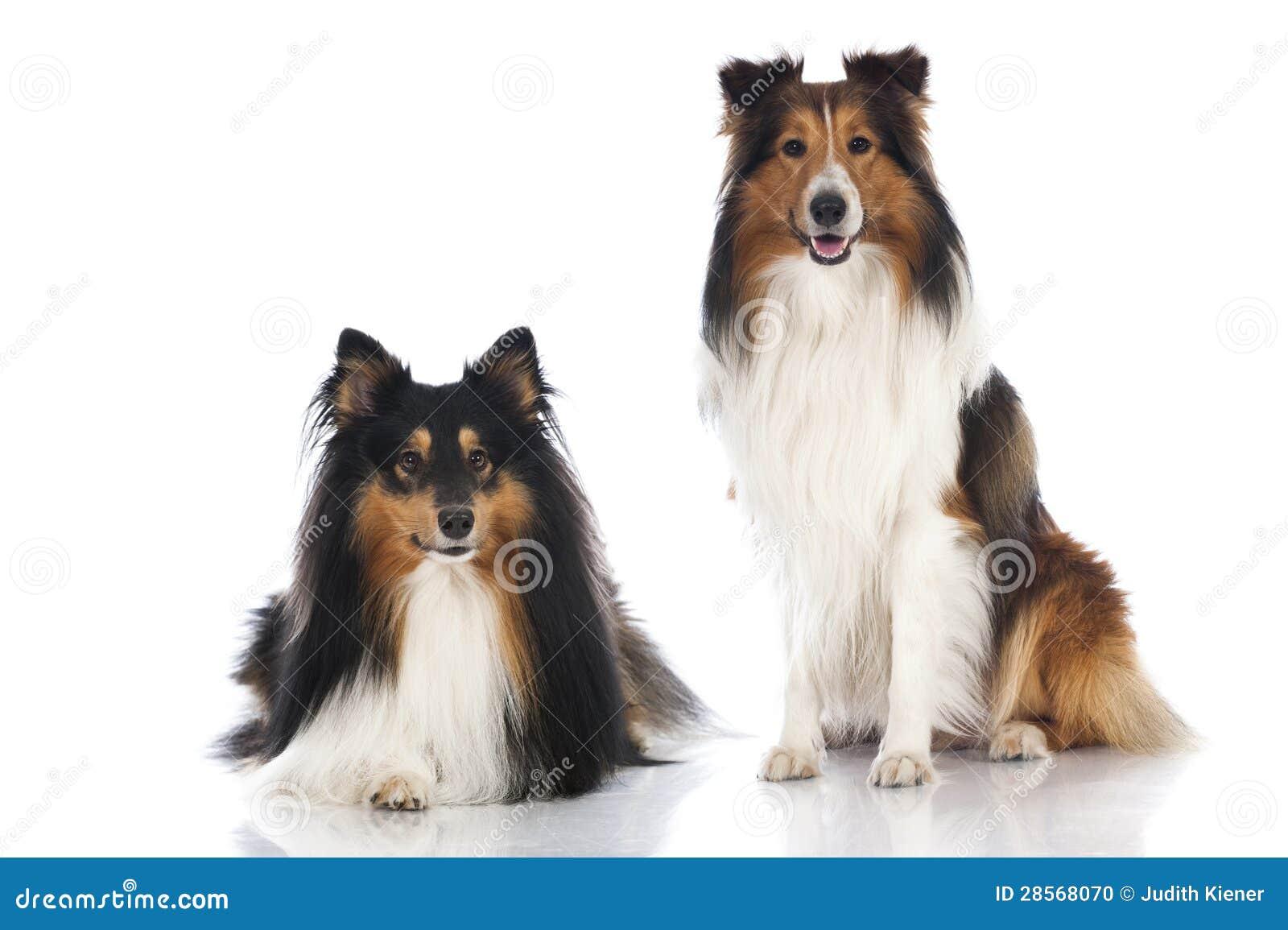 Die Shetlandinseln-Schäferhunde