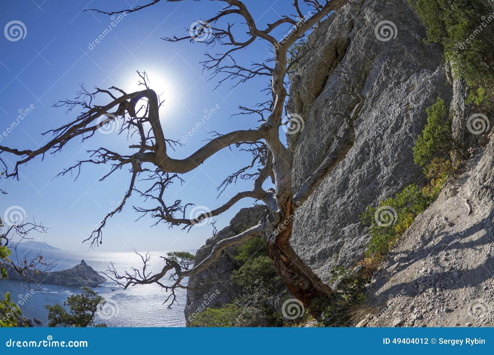 Download Die Sonne, Die Durch Die Niederlassungen Der Getrockneten Reliktkiefer In Scheint Stockfoto - Bild von skelett, niemand: 49404012