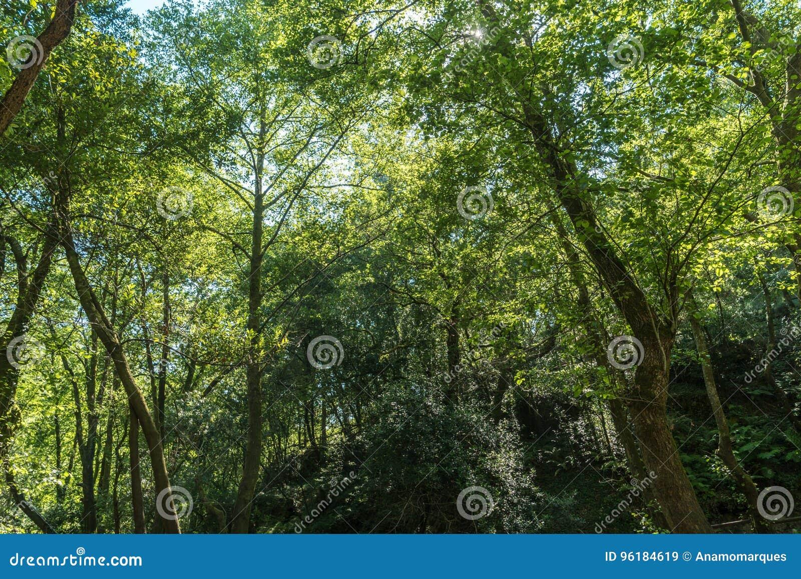 Die Sonne, welche schön die grünen Treetops des hohen Baums belichtet