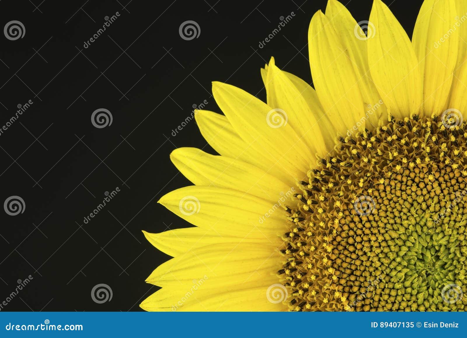 Die Sonnenblume auf dem schwarzen Hintergrund