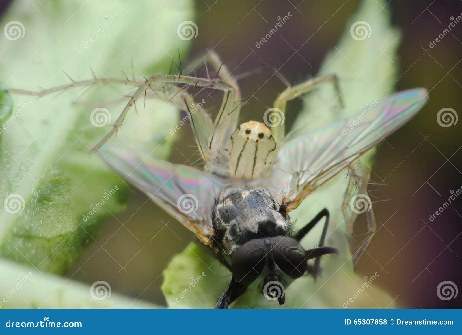 Die Spinne, die Fangfliege ist, essen