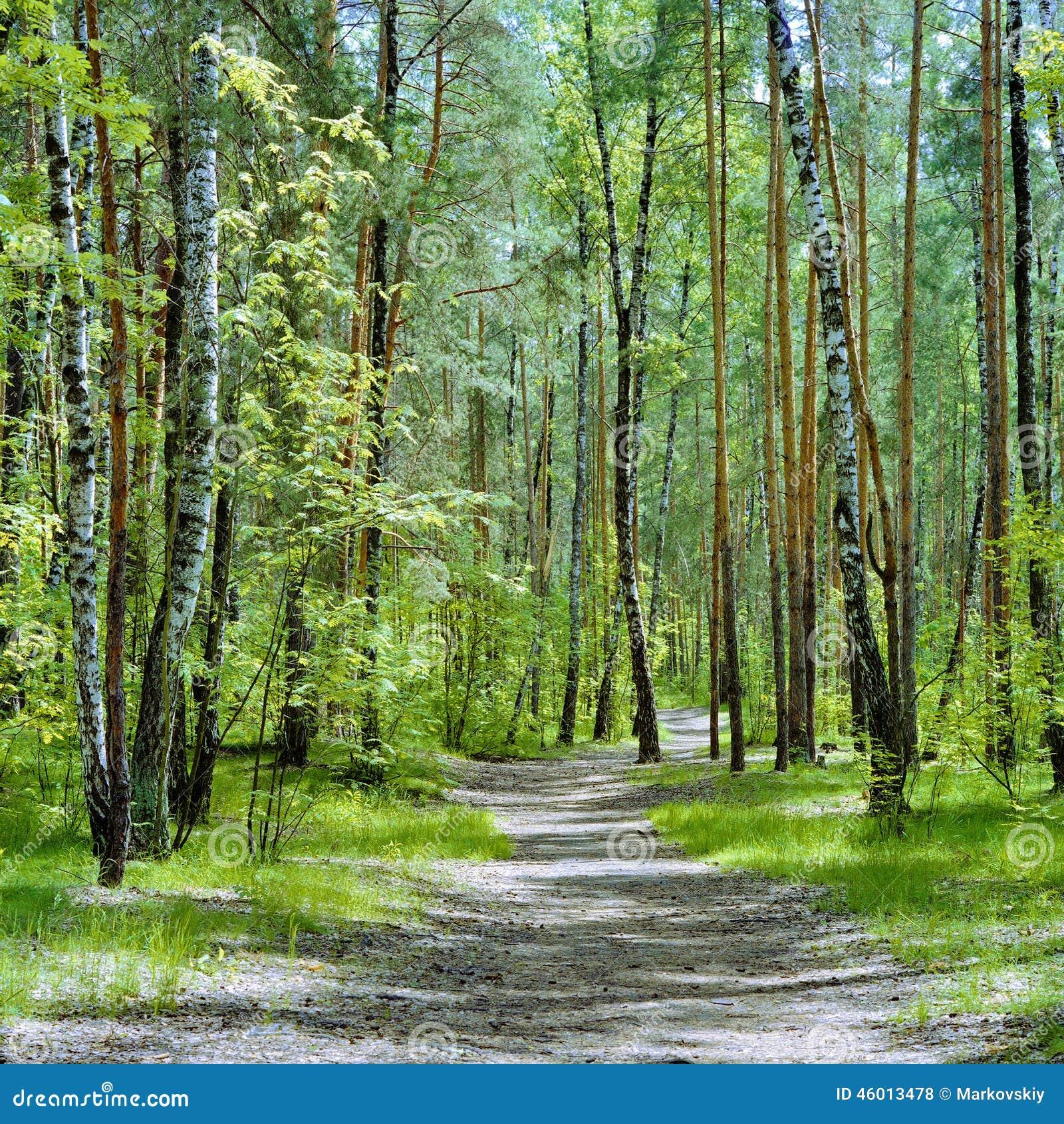 Die Spur Im Wald Mit Birken Und Kiefern An Einem